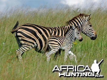 Burchell's Zebra Mare and Foal (Plain Zebra)