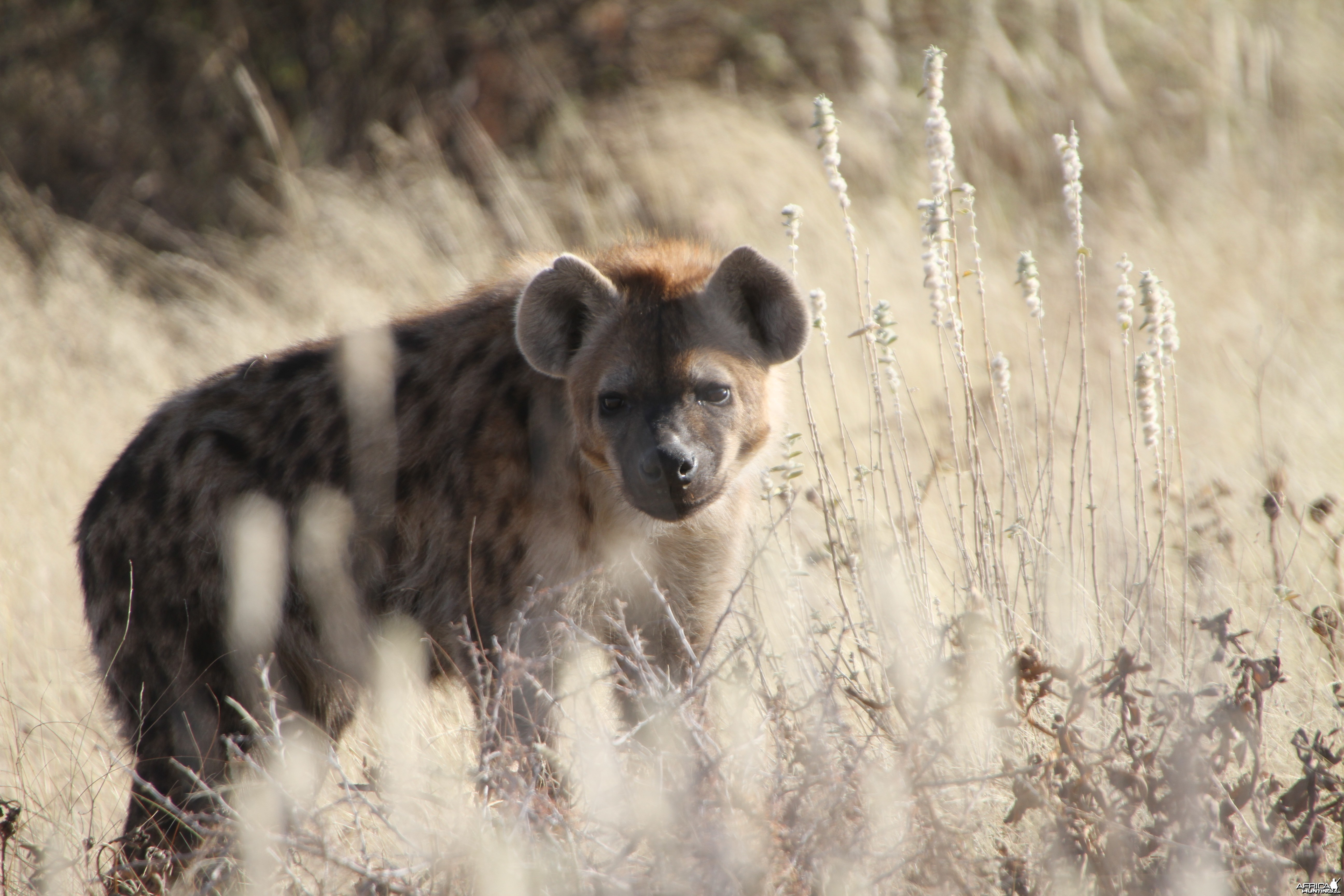Spotted Hyena at Etosha National Park