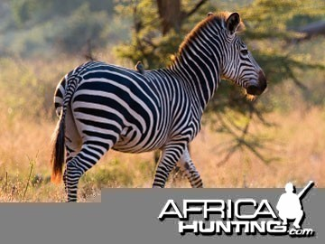 Burchell's Zebra (Plain Zebra) with no shadow stripes