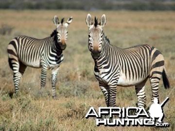 Hartmann's Zebra (Mountain Zebra)
