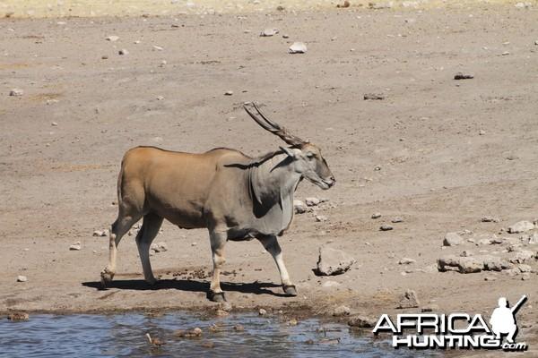 Cape Eland at Etosha National Park