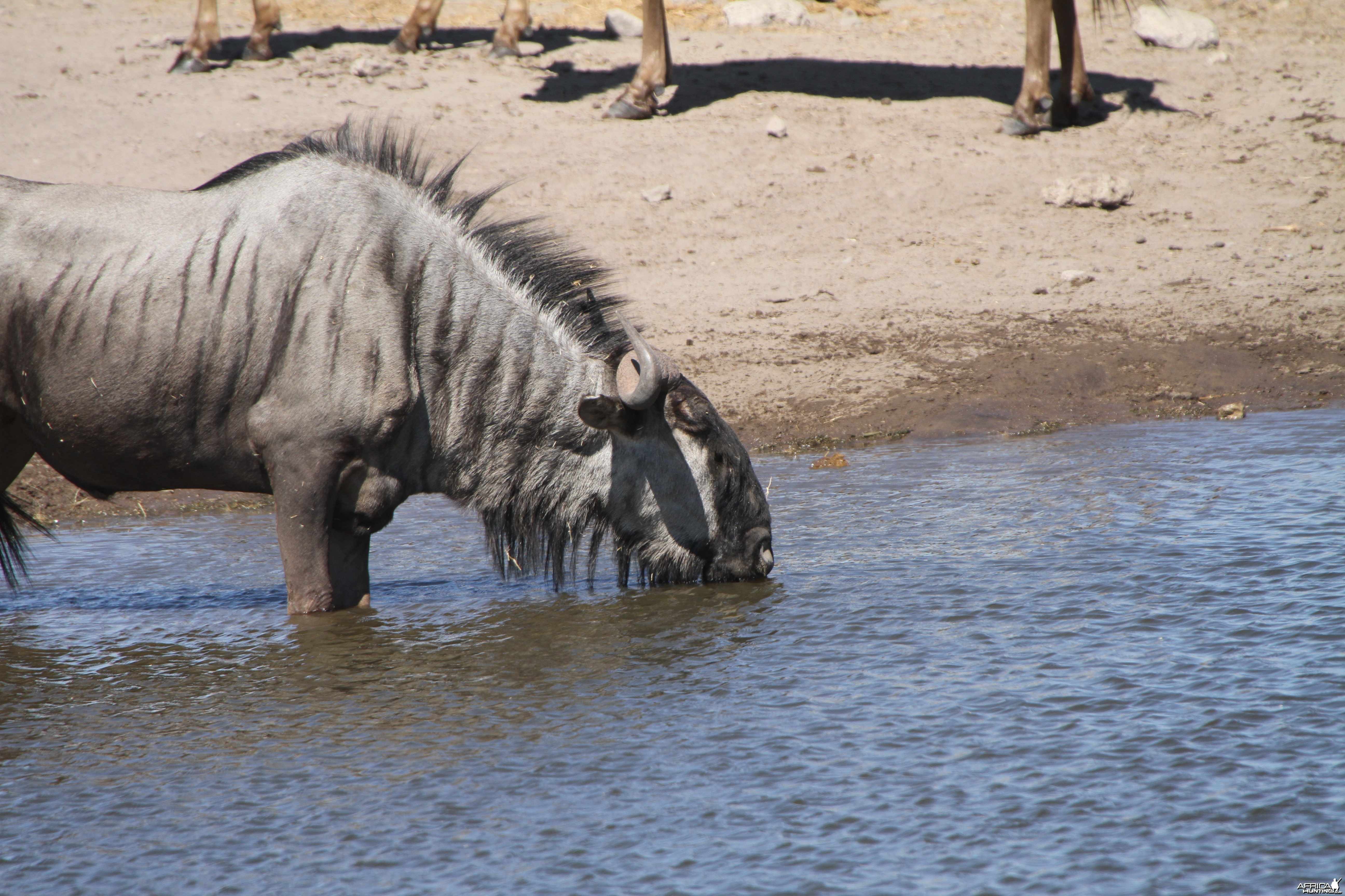 Blue Wildebeest at Etosha National Park National Park