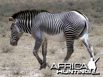 Grevy's Zebra (Imperial Zebra)
