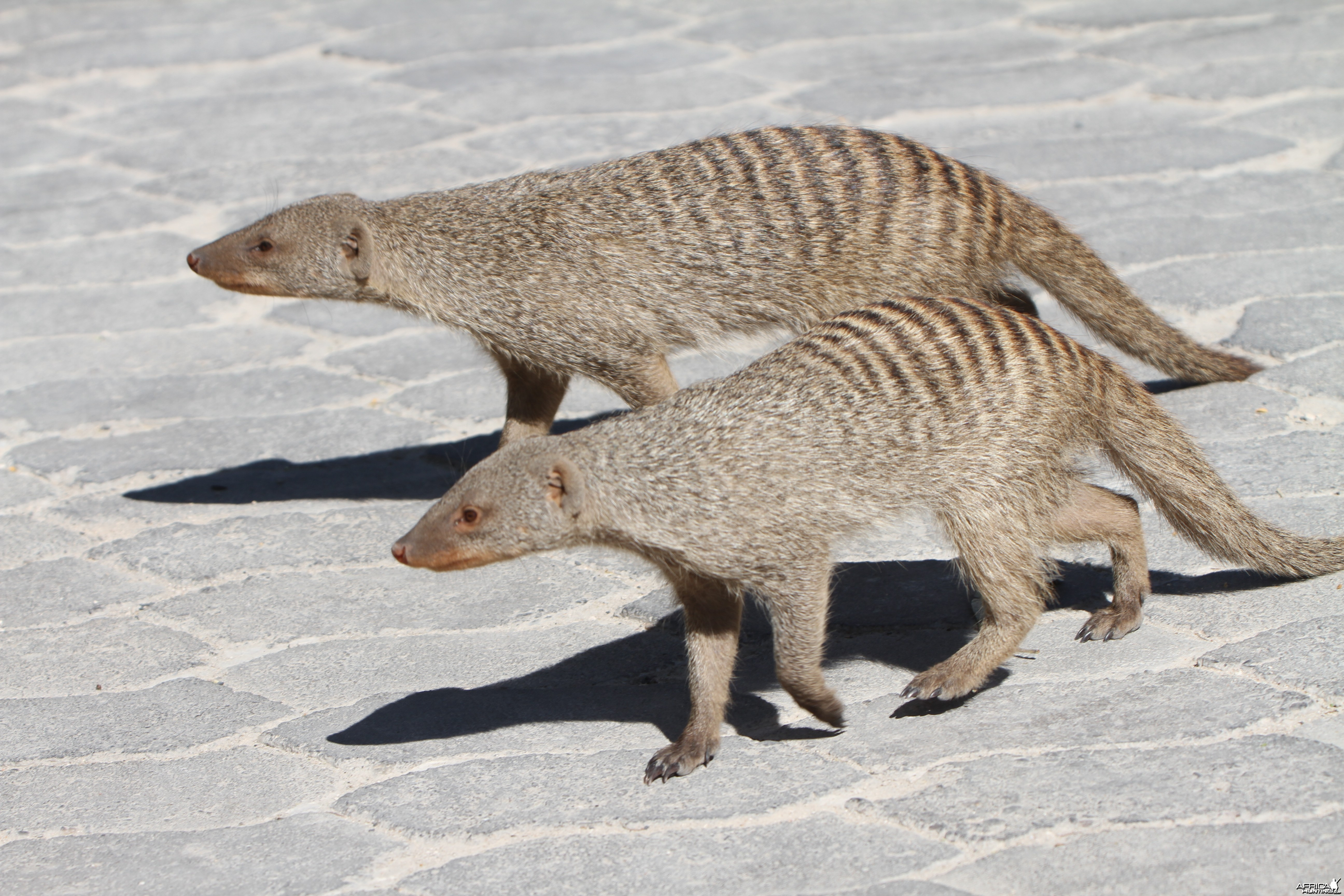 Banded Mongoose at Etosha National Park