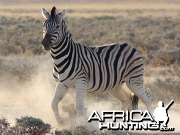 Burchell's Zebra (Plain Zebra) with shadow stripes