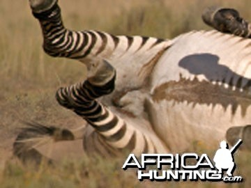 Cape Mountain Zebra (Mountain Zebra)
