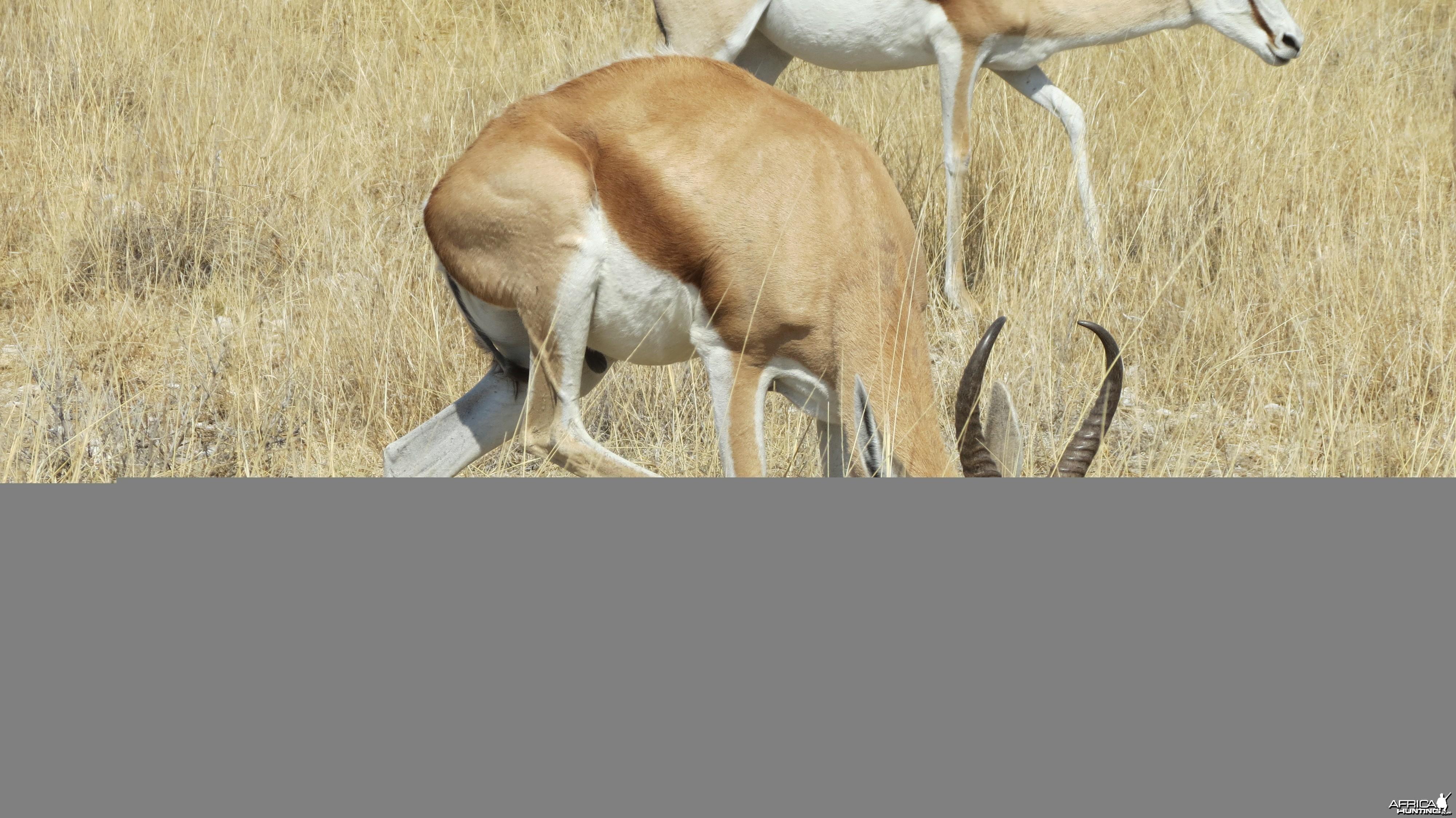 Springbok at Etosha National Park