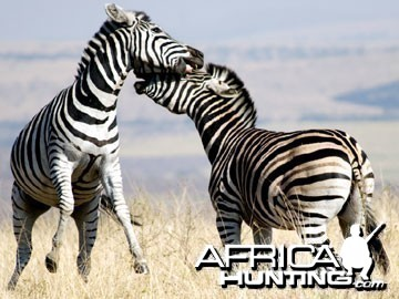 Burchell's Zebra Stallion (Plain Zebra) fighting