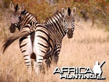 Burchell's Zebra Mare (Plain Zebra)