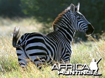 Burchell's Zebra Stallion (Plain Zebra)