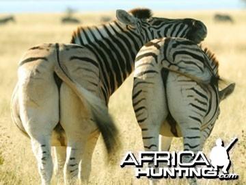 Burchell's Zebra Stallions (Plain Zebra)
