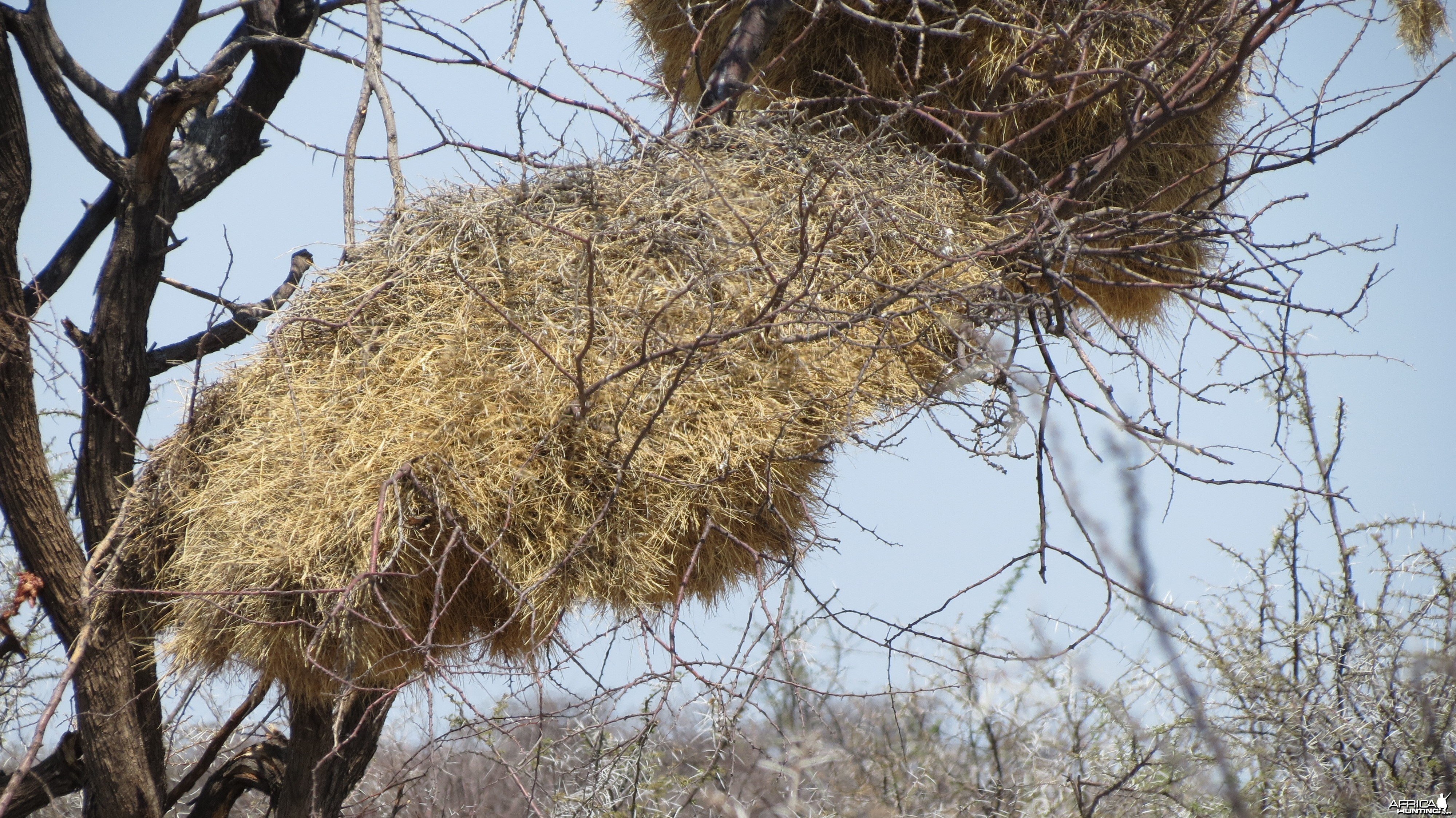 Community Weaver Nest at Etosha National Park