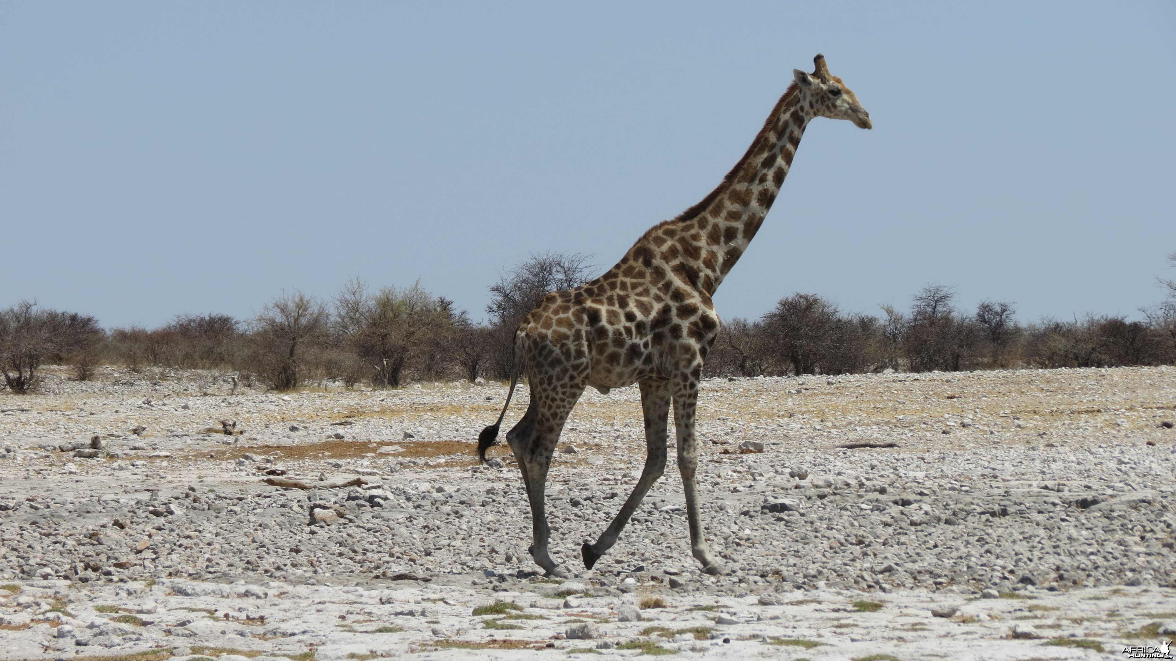 Giraffe at Etosha National Park