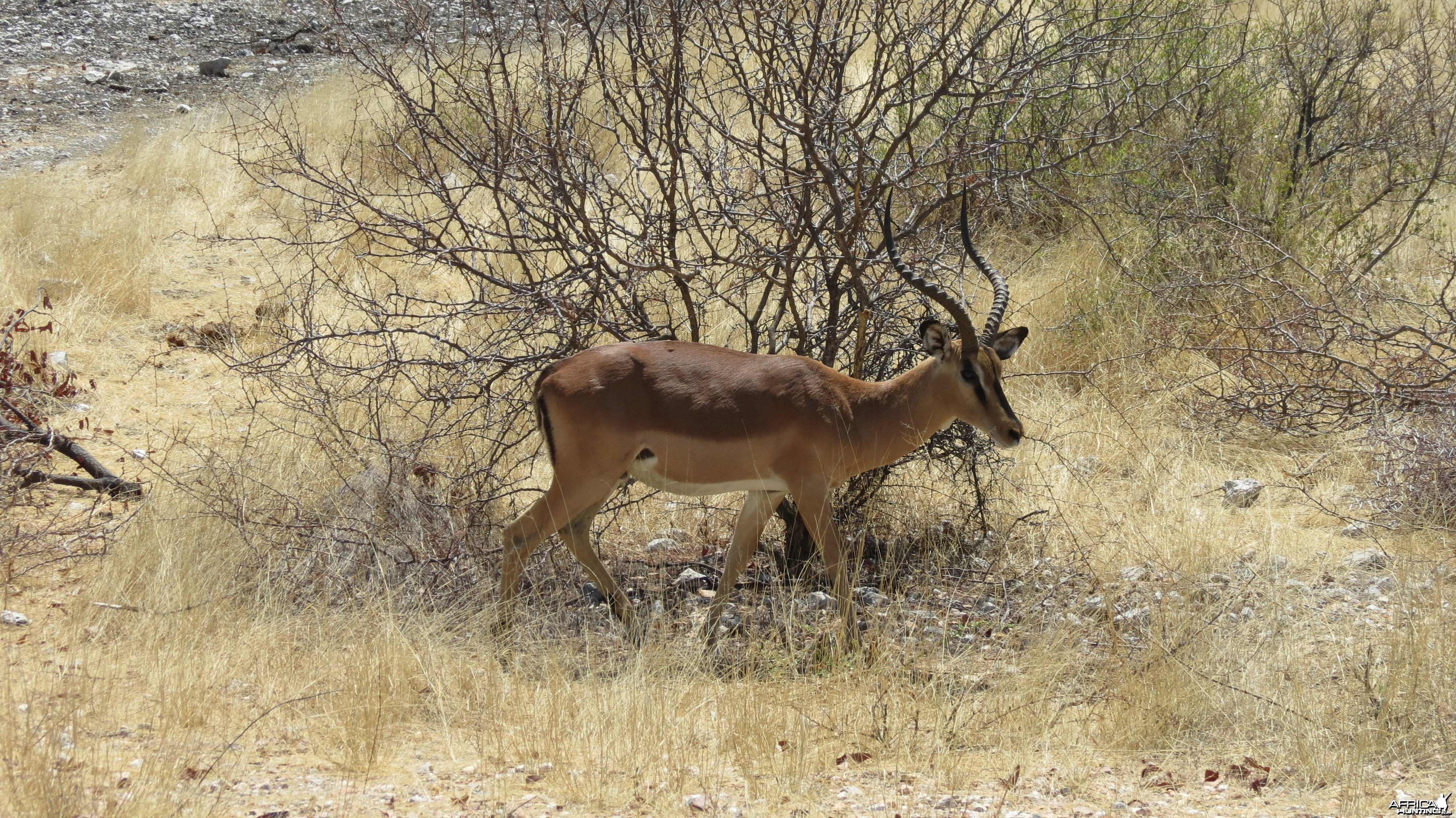 Black-Faced Impala at Etosha National Park