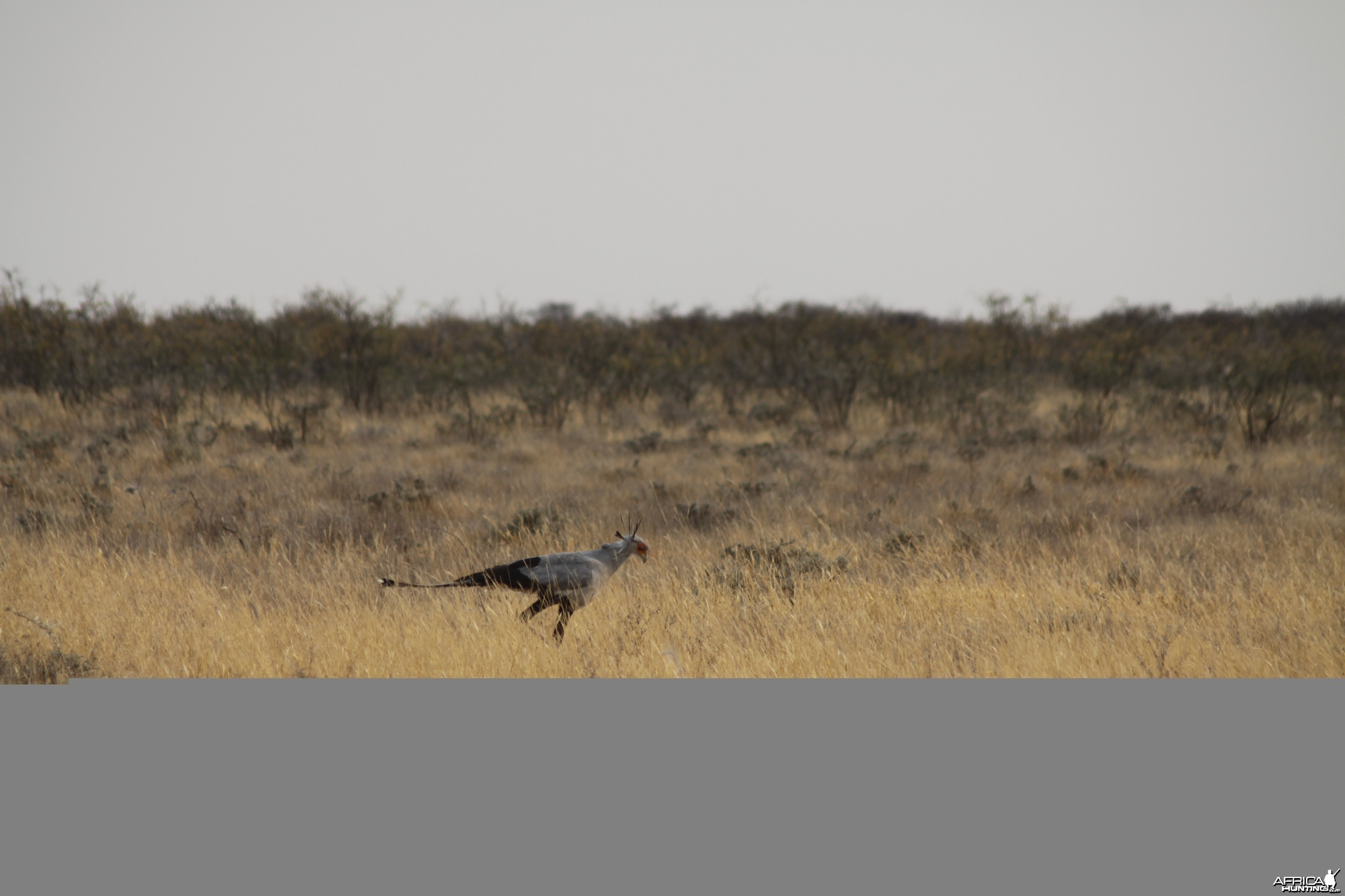 Secretary Bird at Etosha National Park
