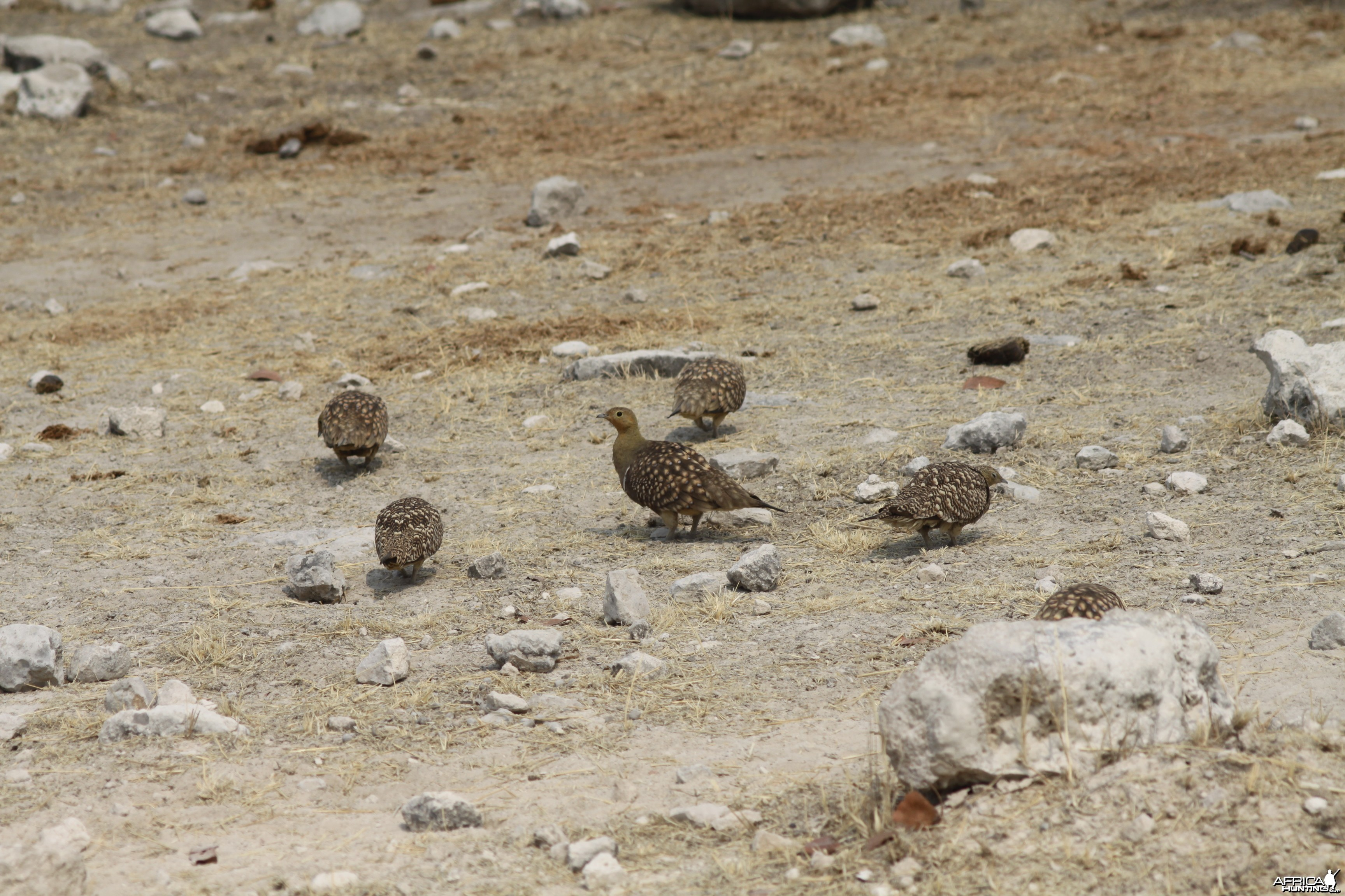 Sandgrouse at Etosha National Park