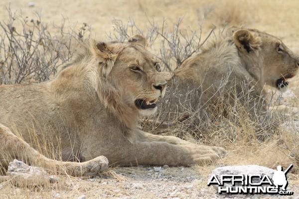Lion at Etosha National Park