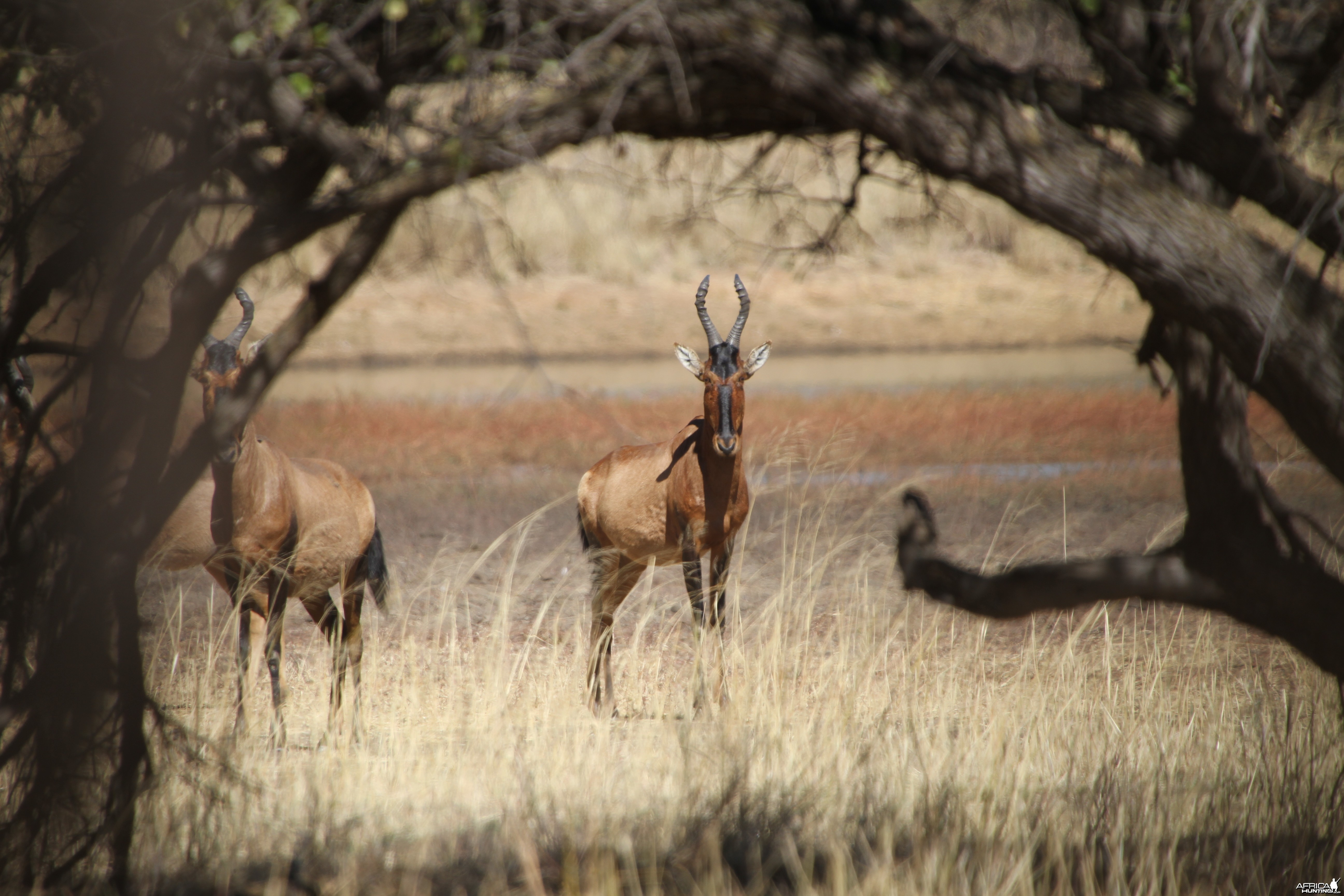 Red Hartebeest Namibia