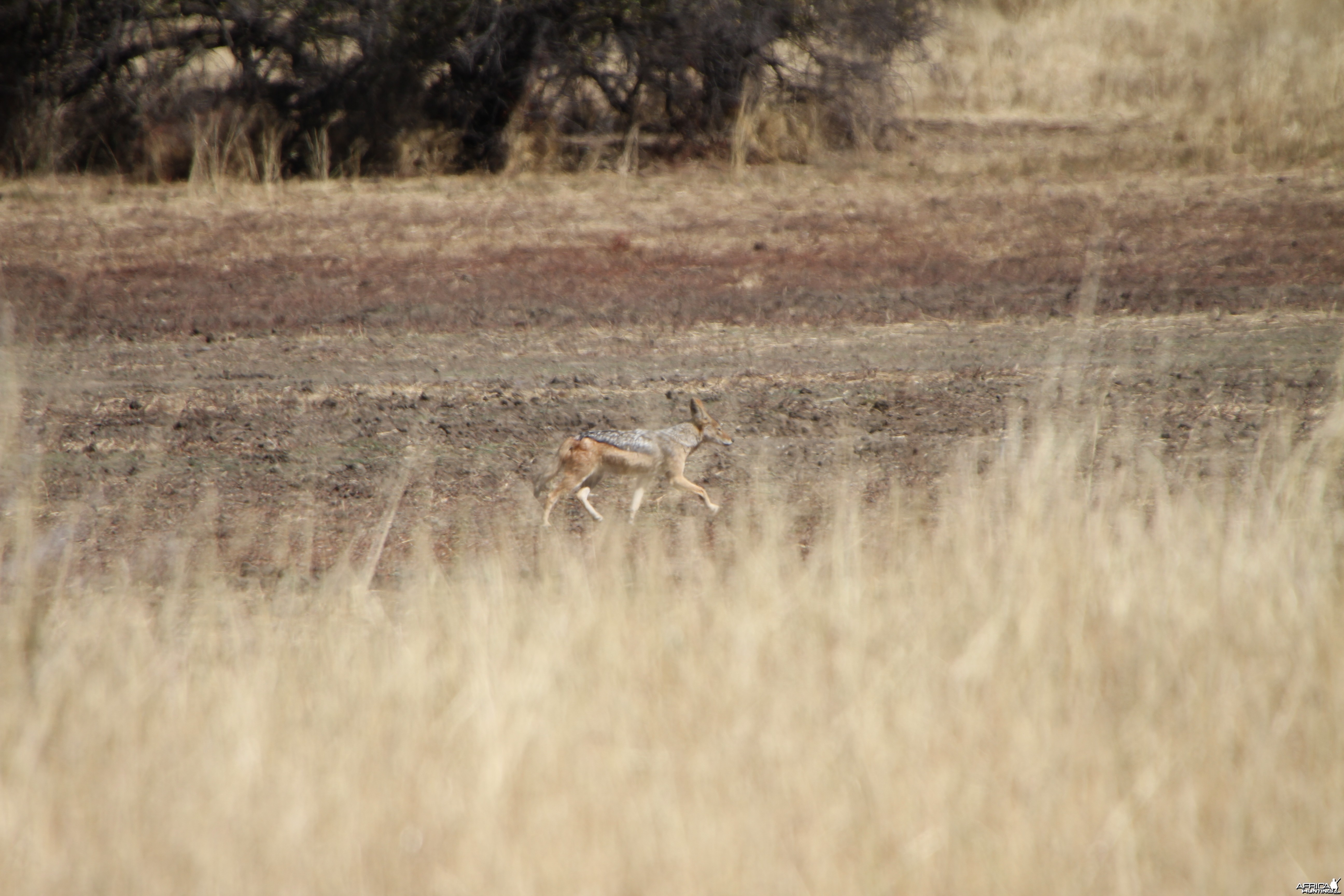 Black-Backed Jackal Namibia