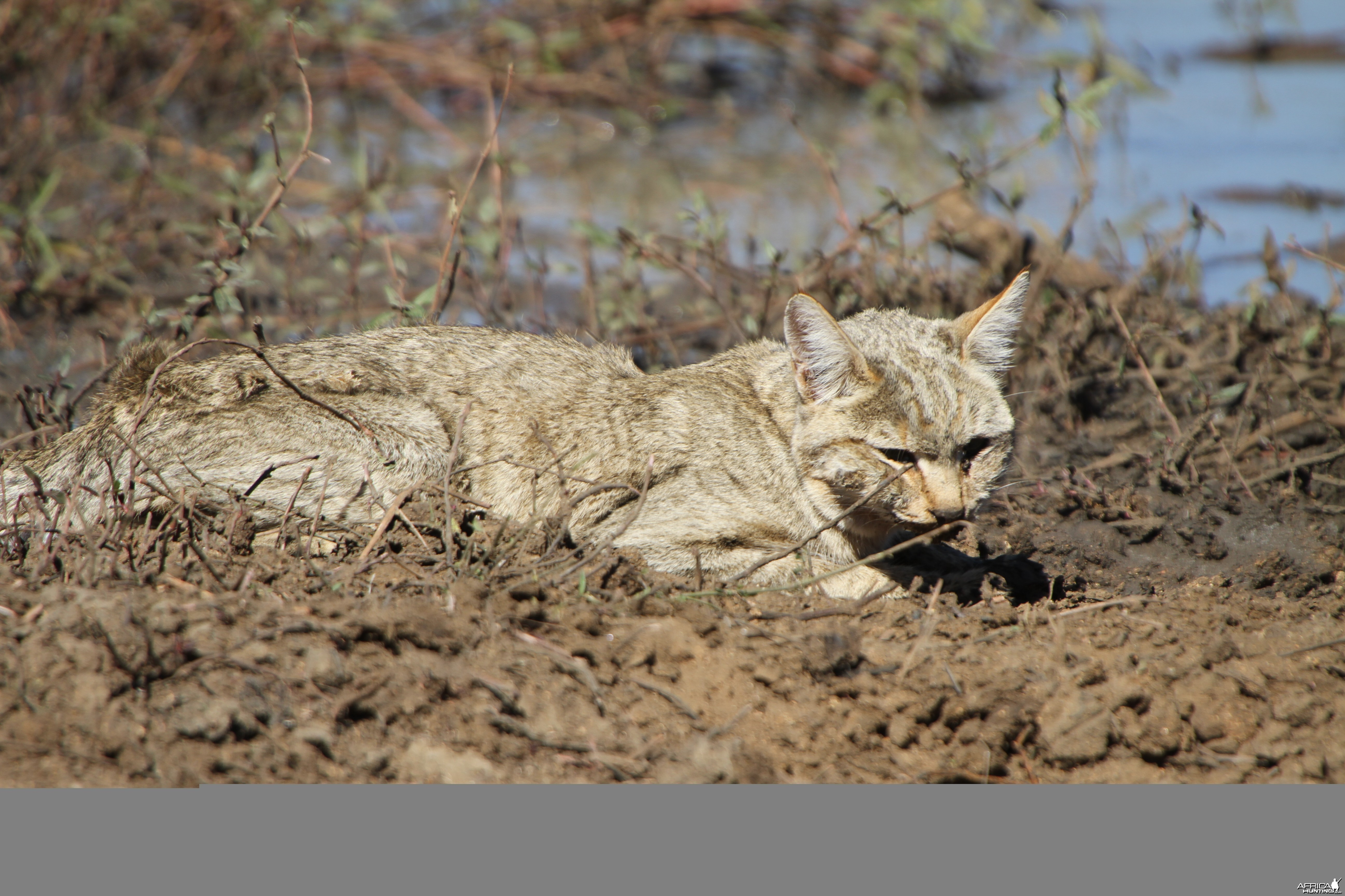 African Wildcat Namibia
