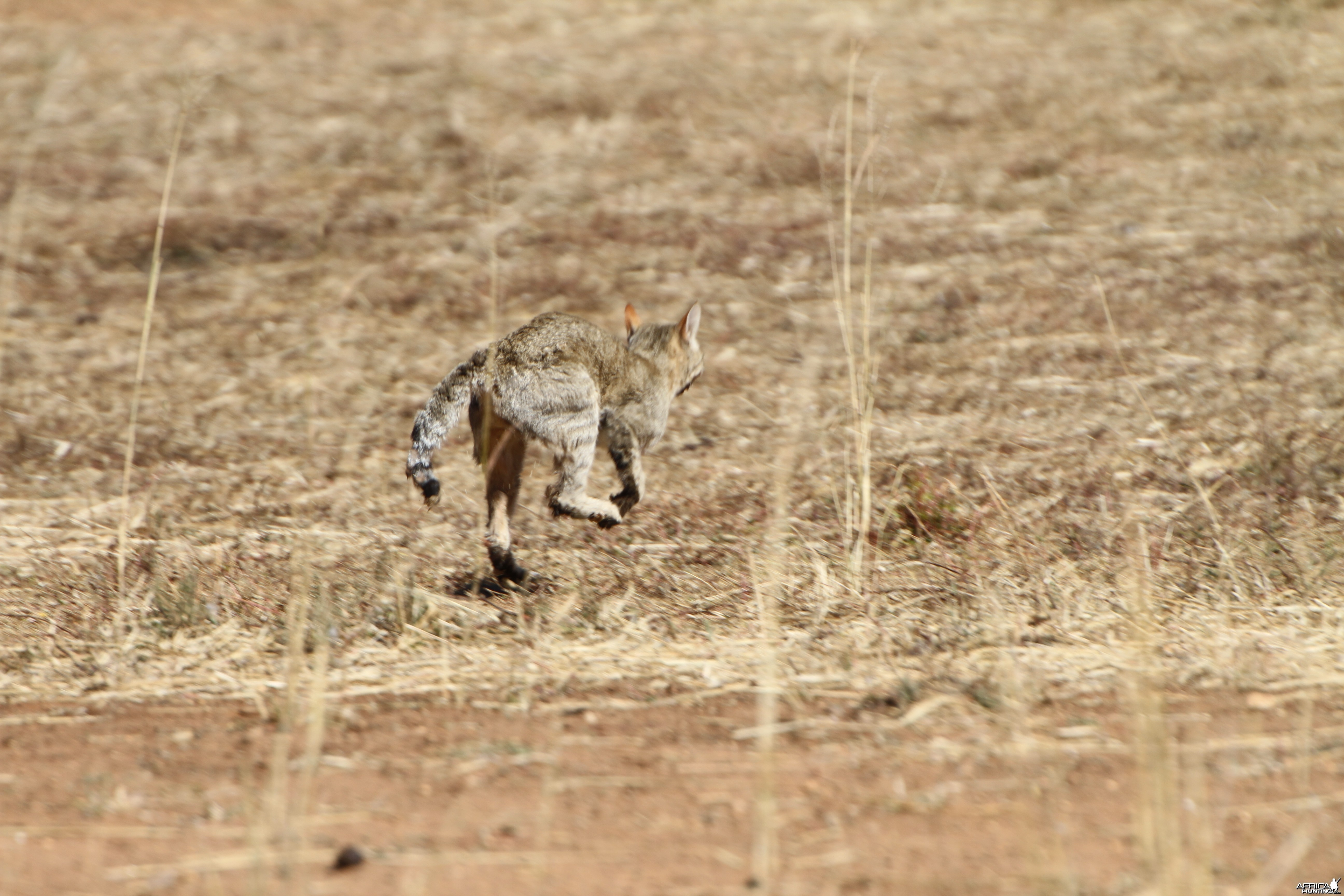 African Wildcat Namibia