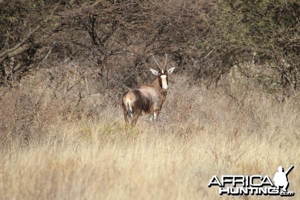 Blesbok Namibia
