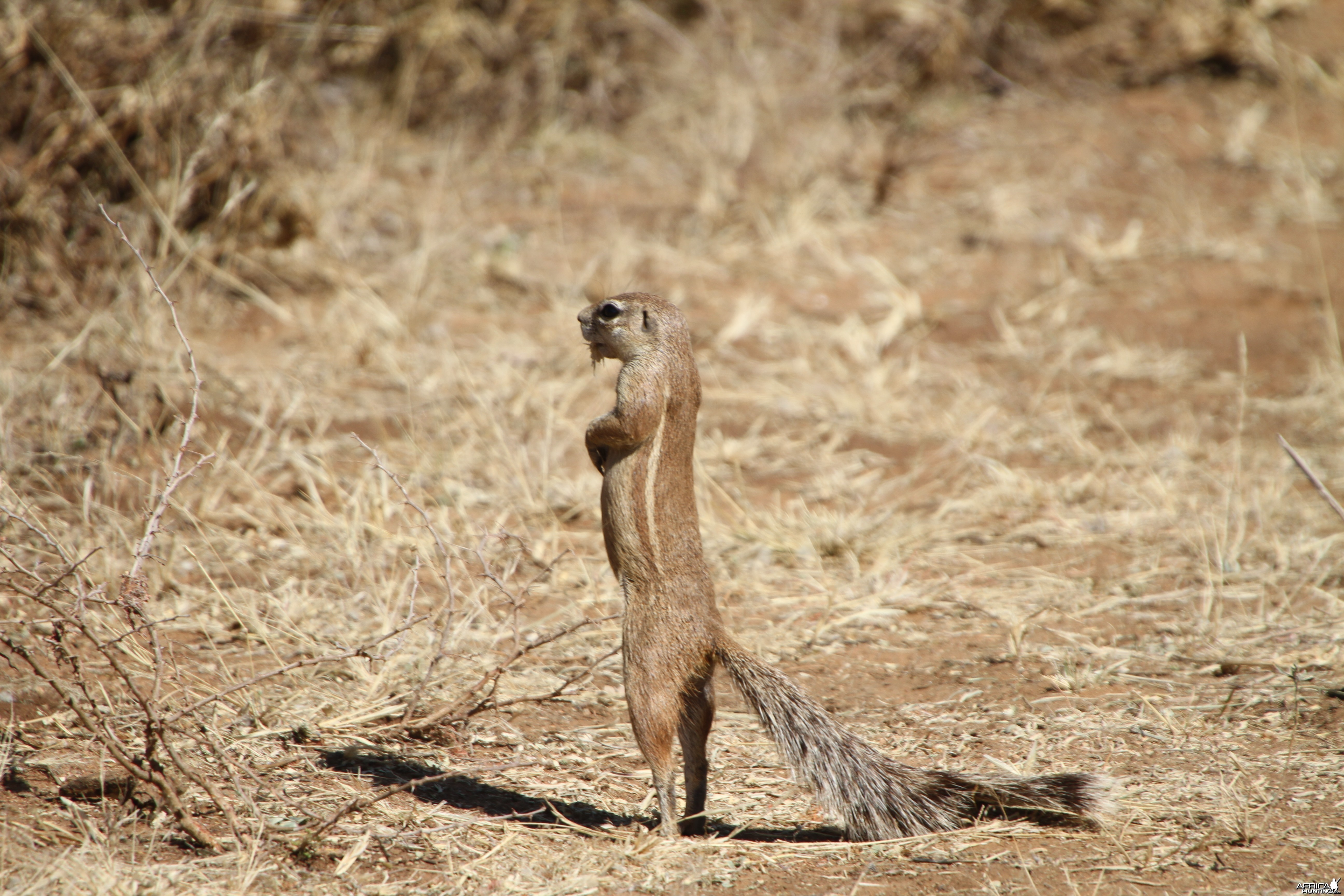 Ground Squirrel Namibia