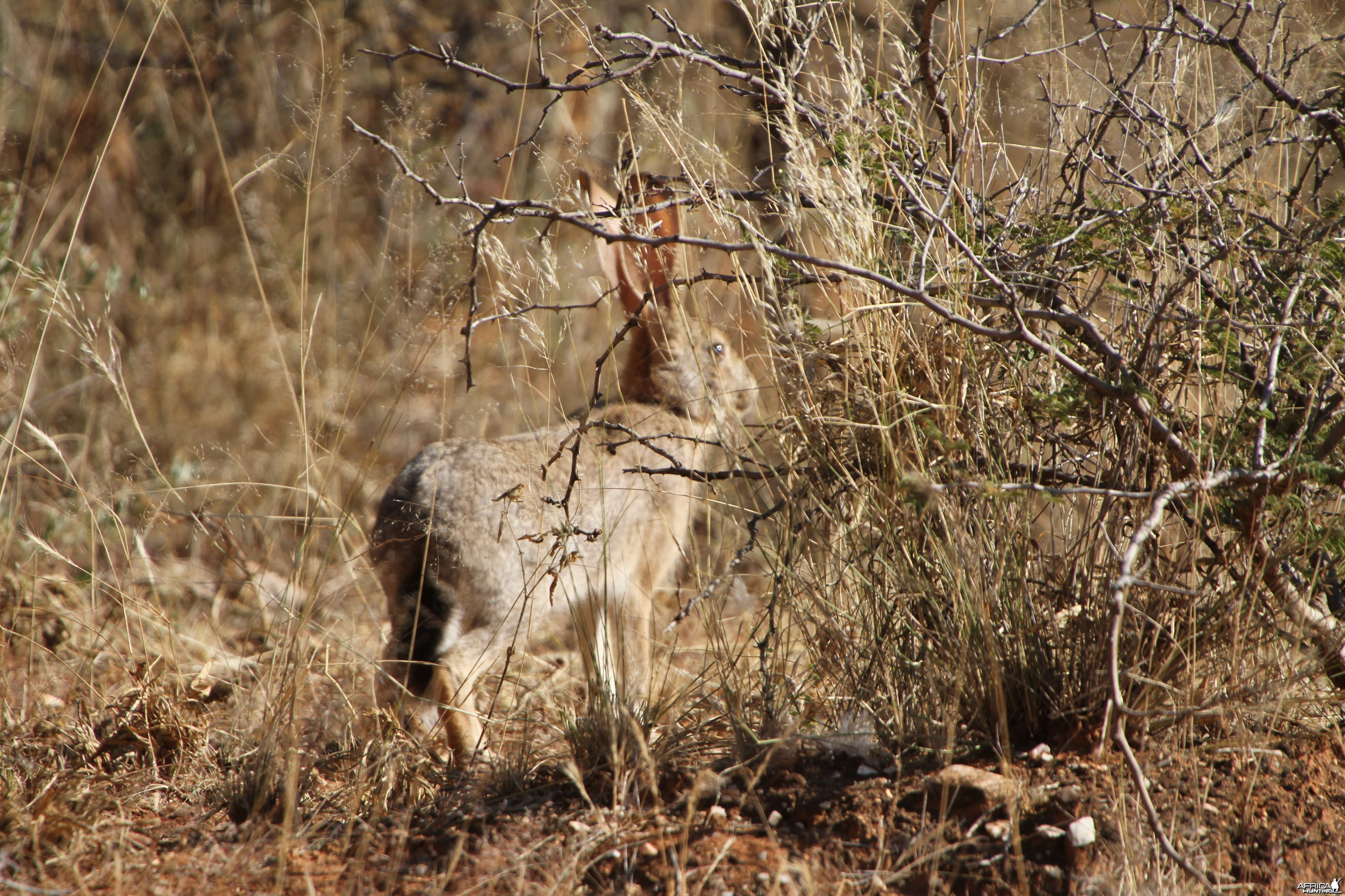 Hare Namibia