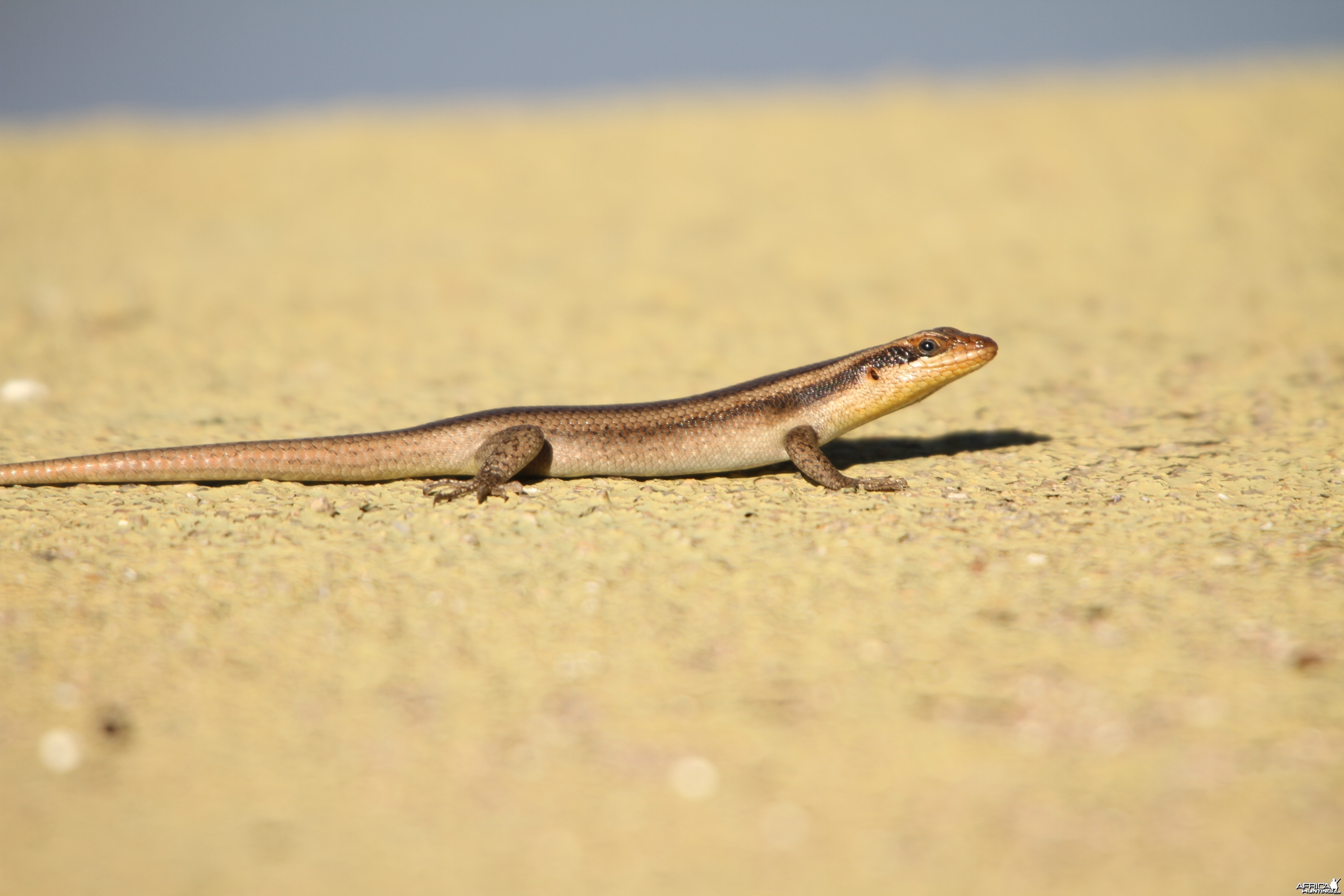 Lizard Namibia