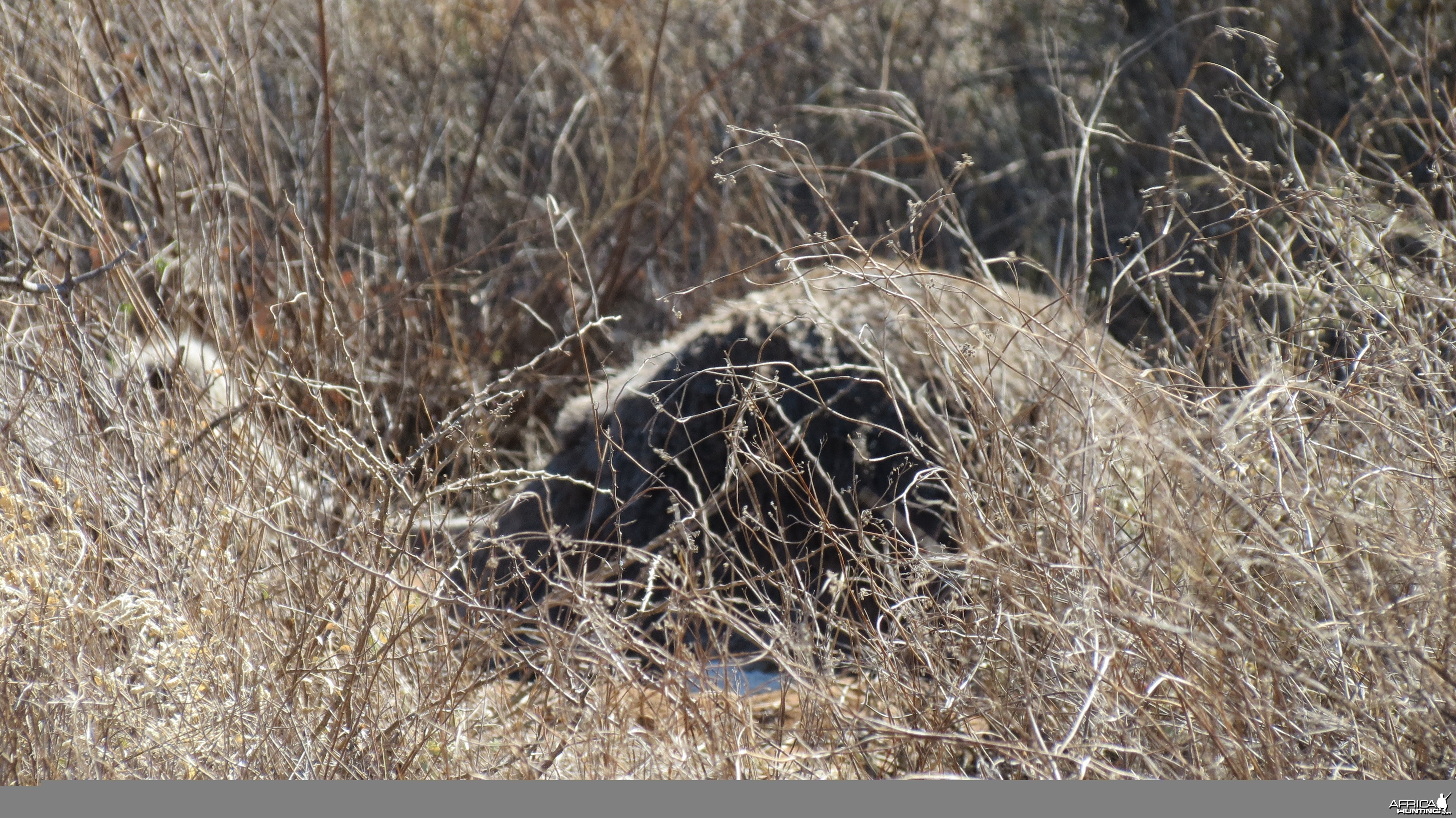 Ostrich on nest Namibia