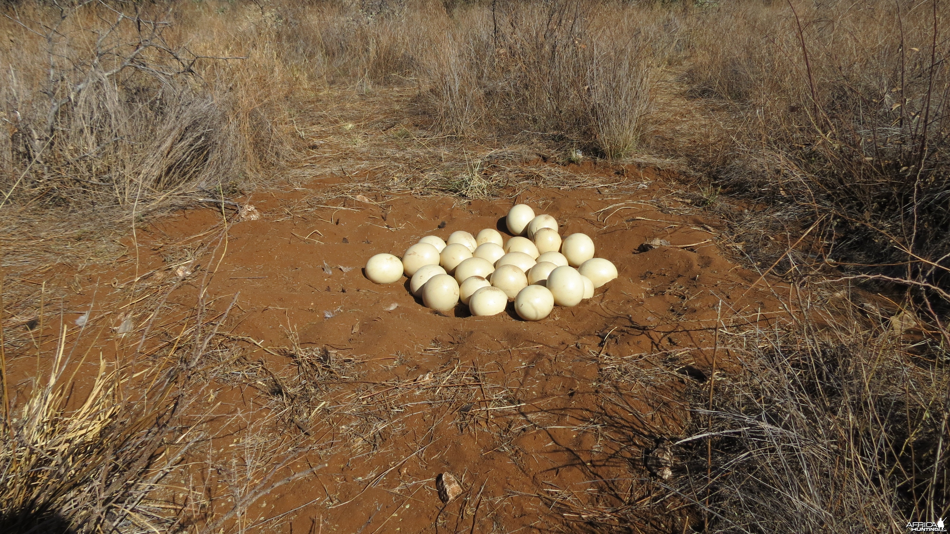 Ostrich nest Namibia