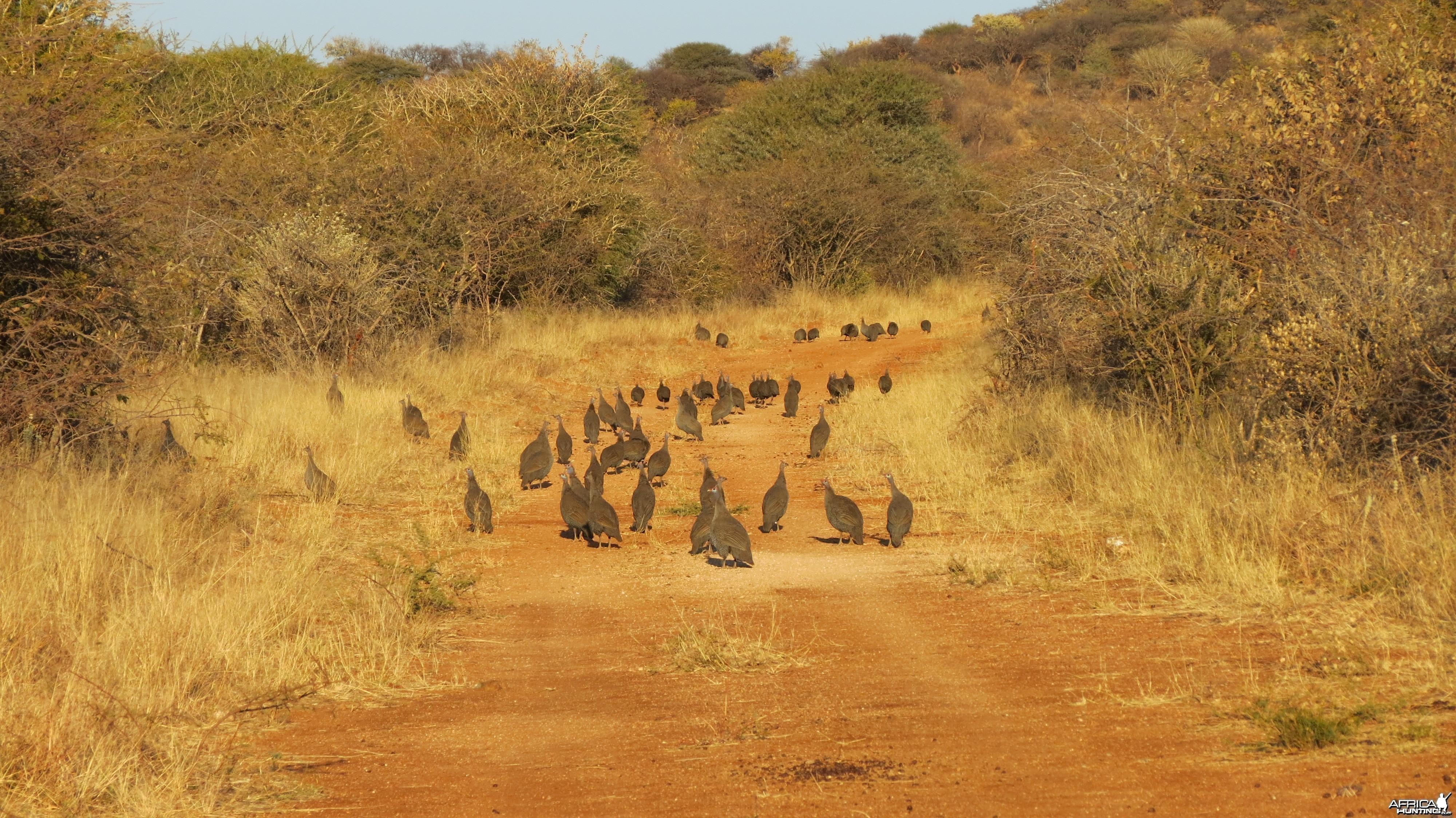 Guineafowl Namibia