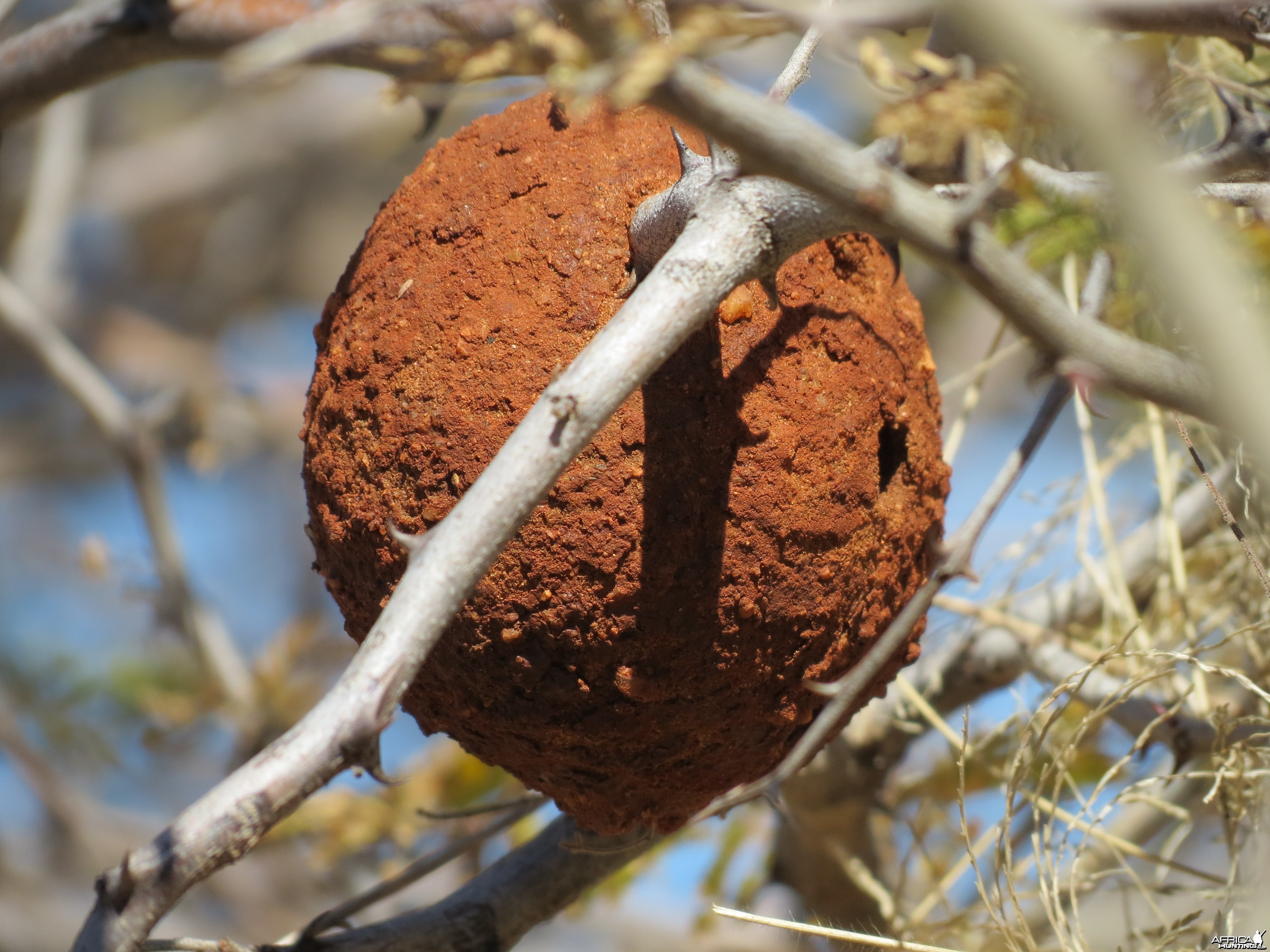 Wasp Nest Namibia