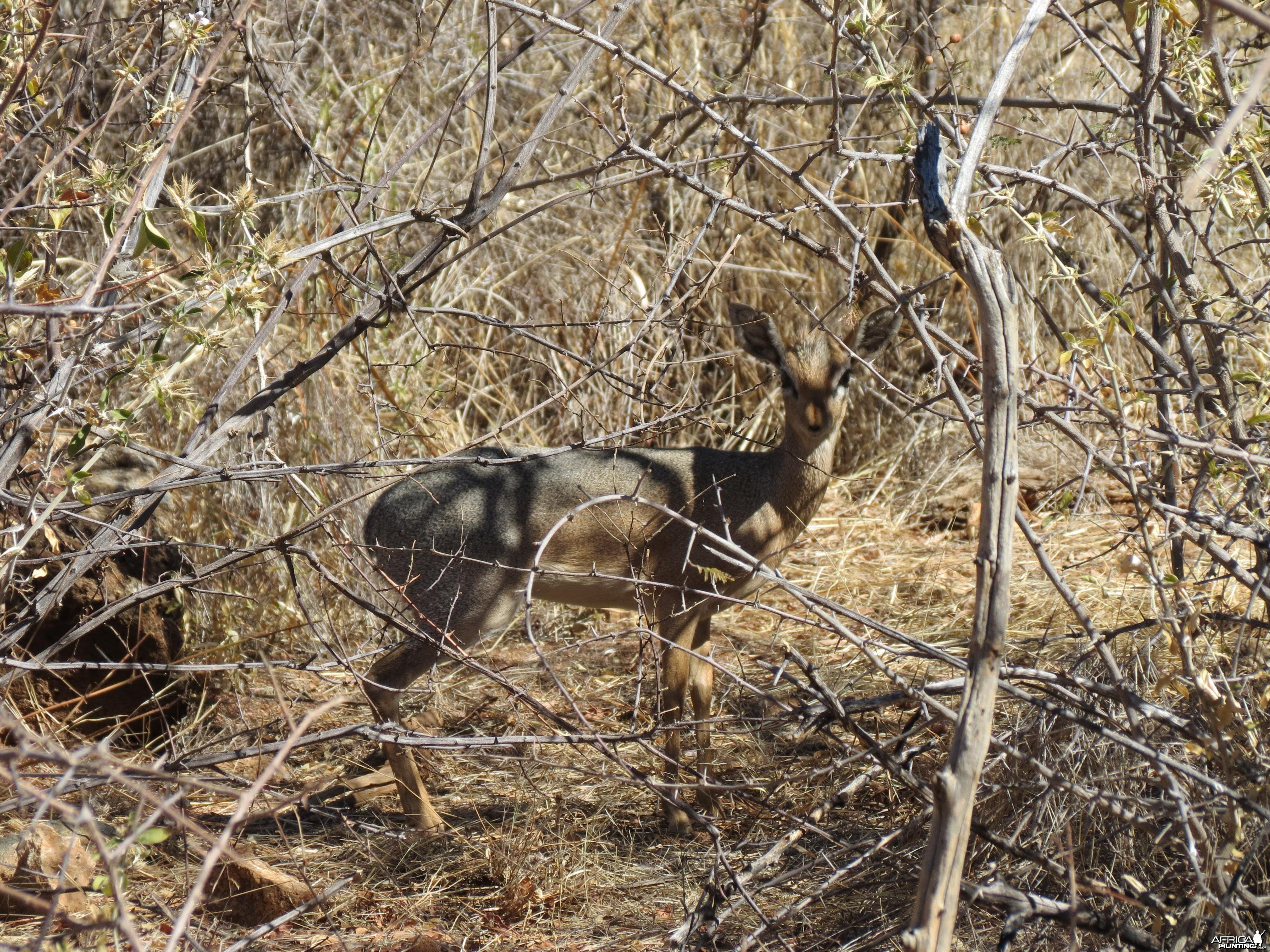 Damara Dik-Dik Namibia