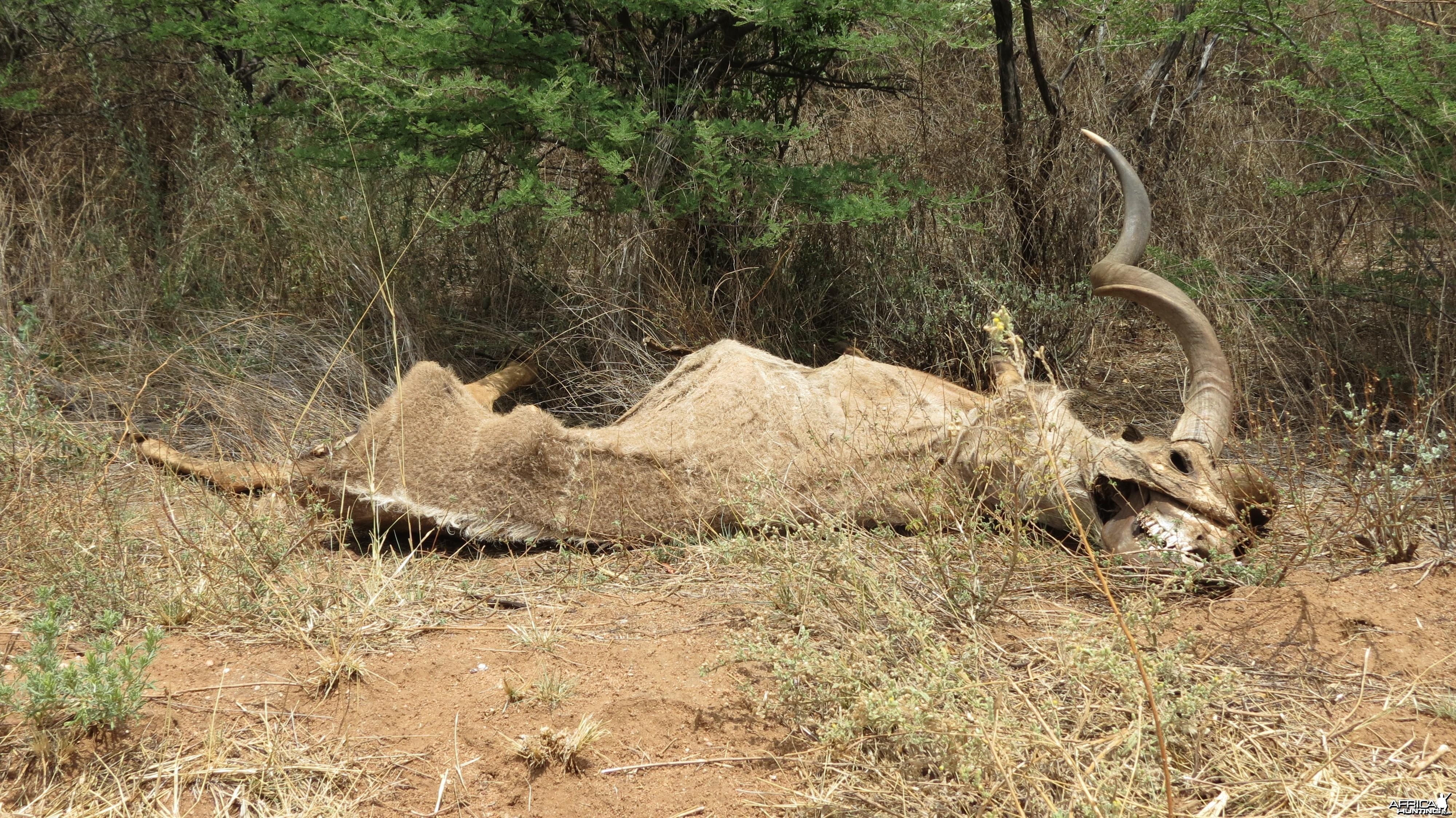 Kudu Carcass Namibia