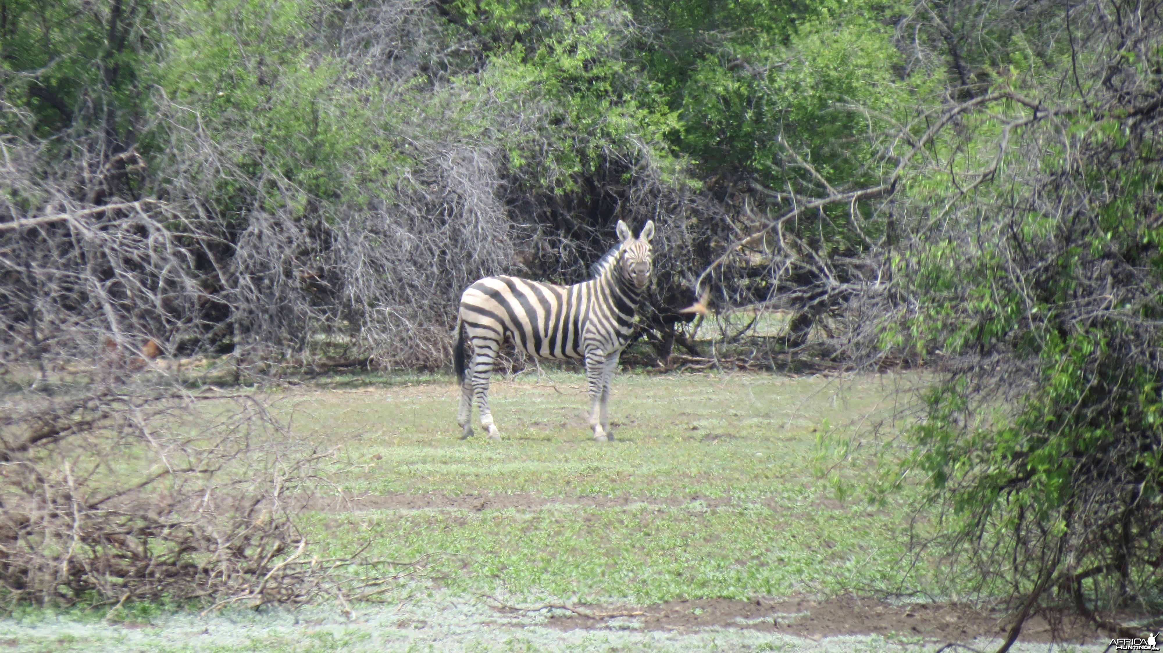 Zebra Namibia