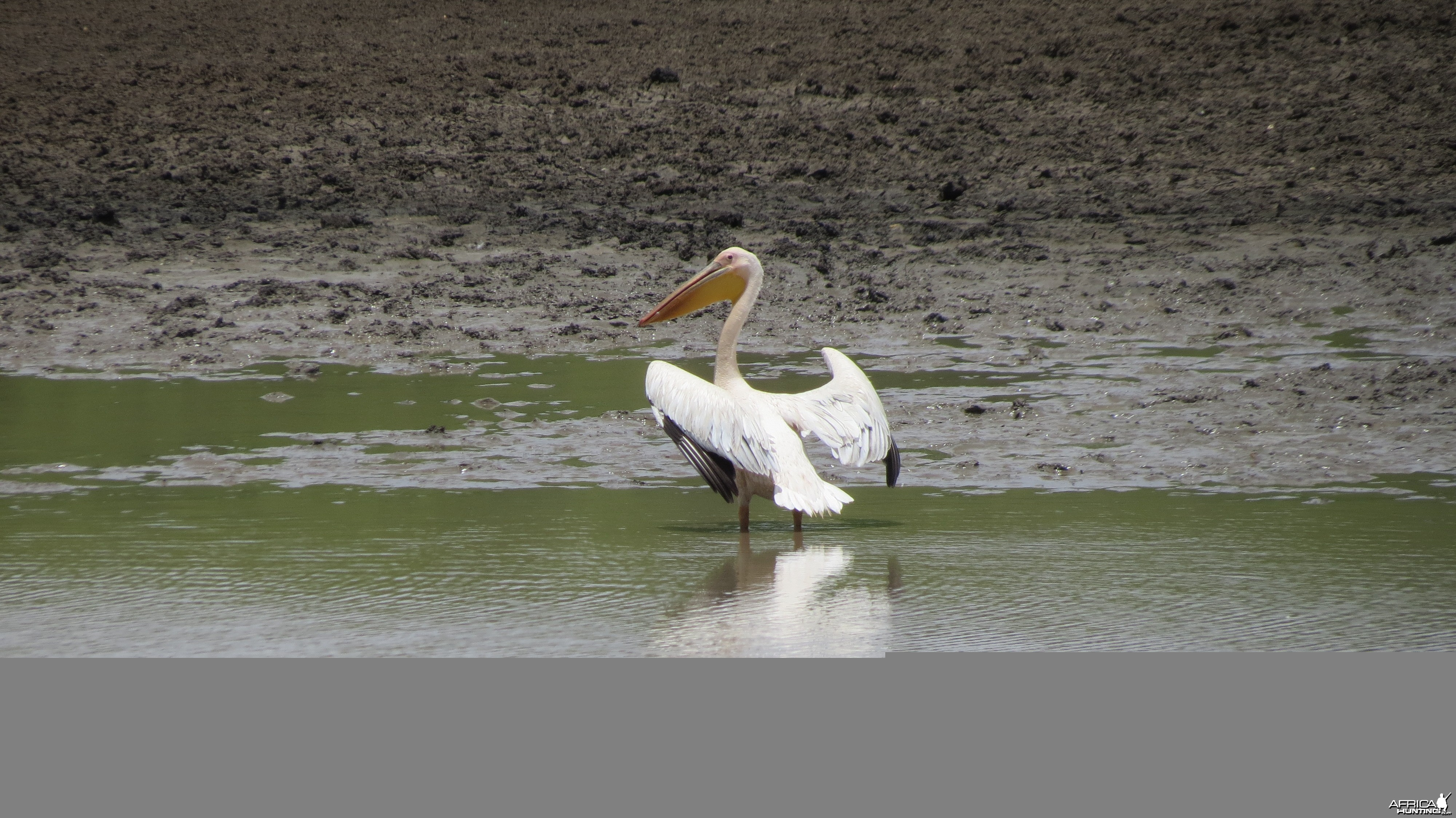 Pelican Namibia