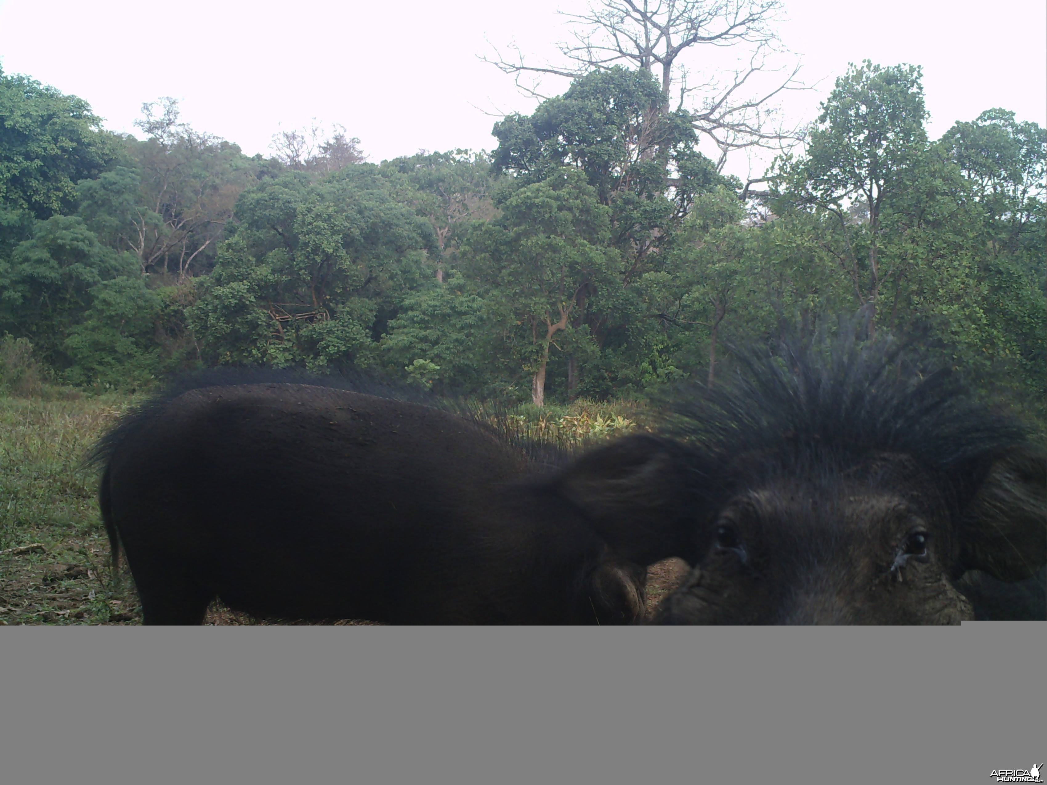 Giant Forest Hog on Trail Camera