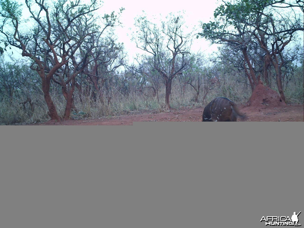 Bushbuck on Trail Camera