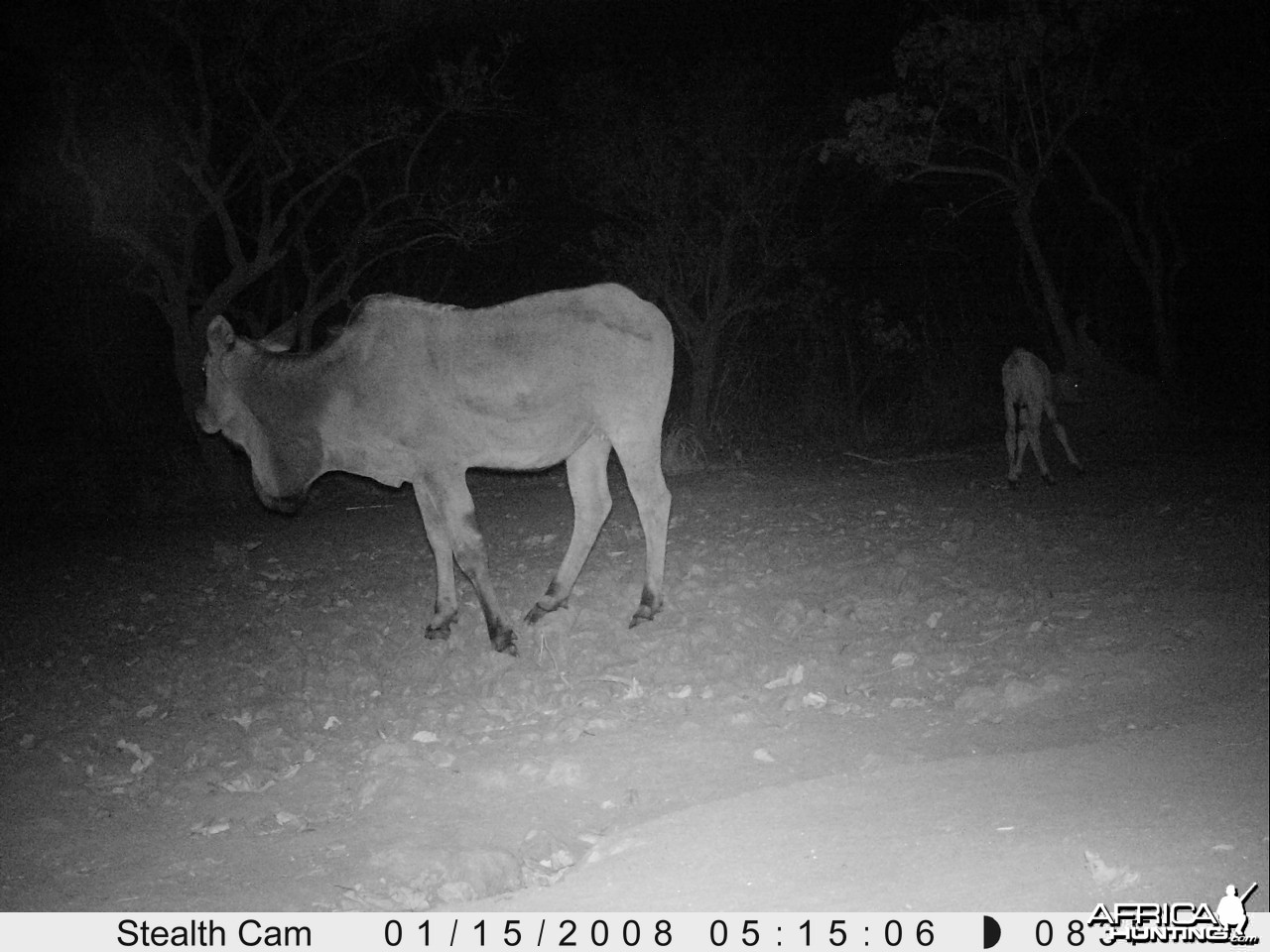 Giant Eland on Trail Camera
