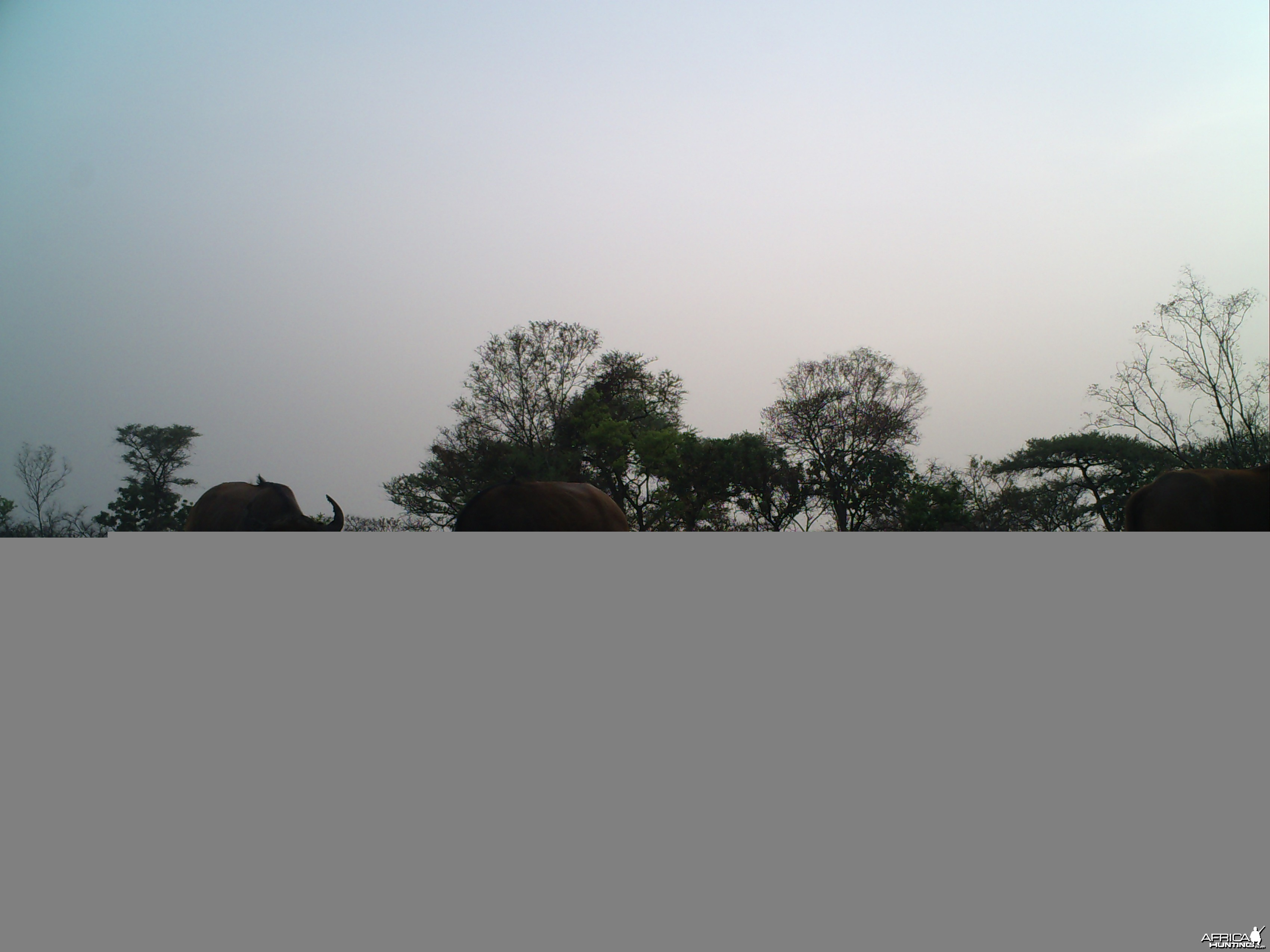 Buffalo on Trail Camera