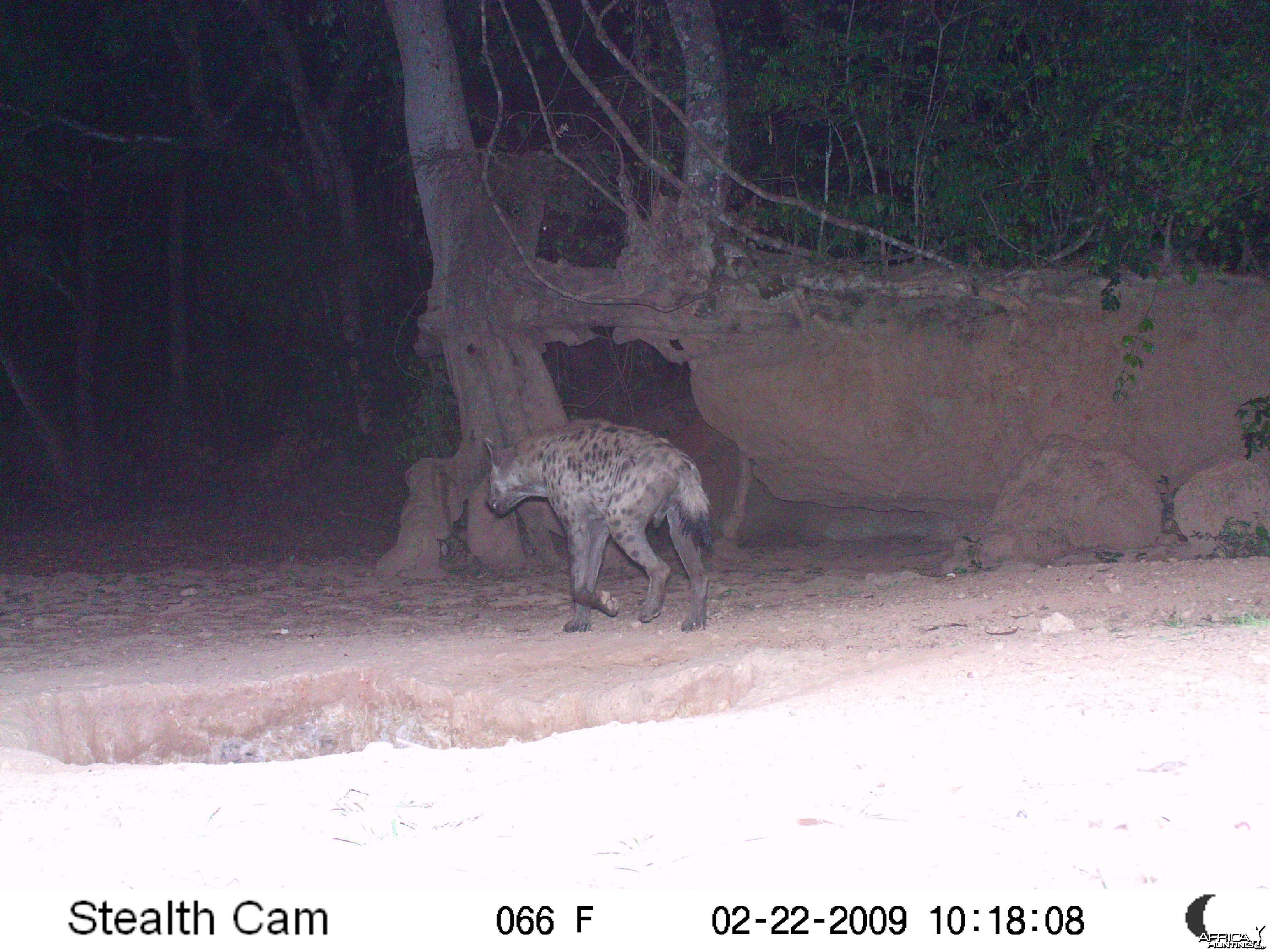 Spotted Hyena on Trail Camera