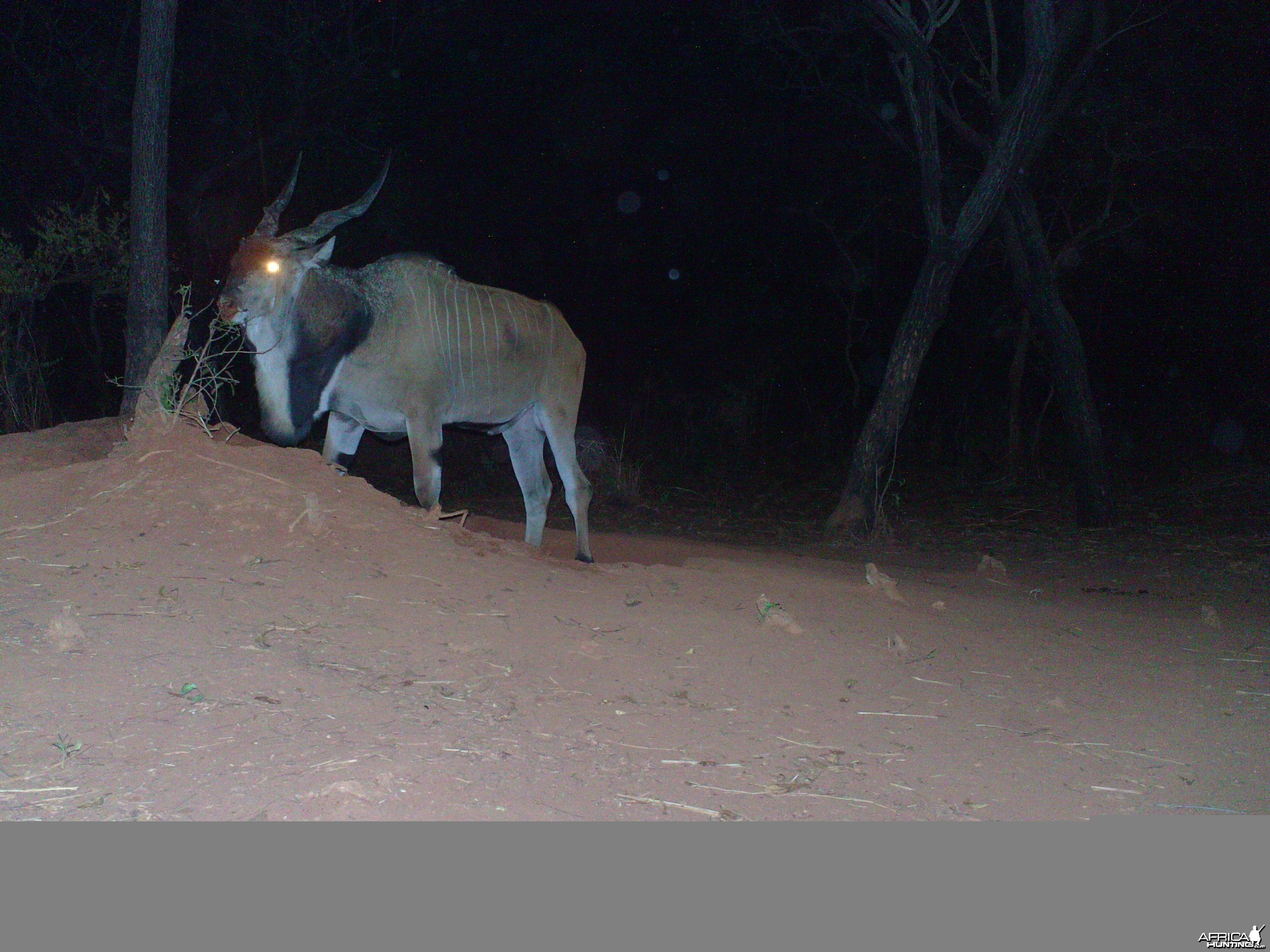 Giant Eland on Trail Camera