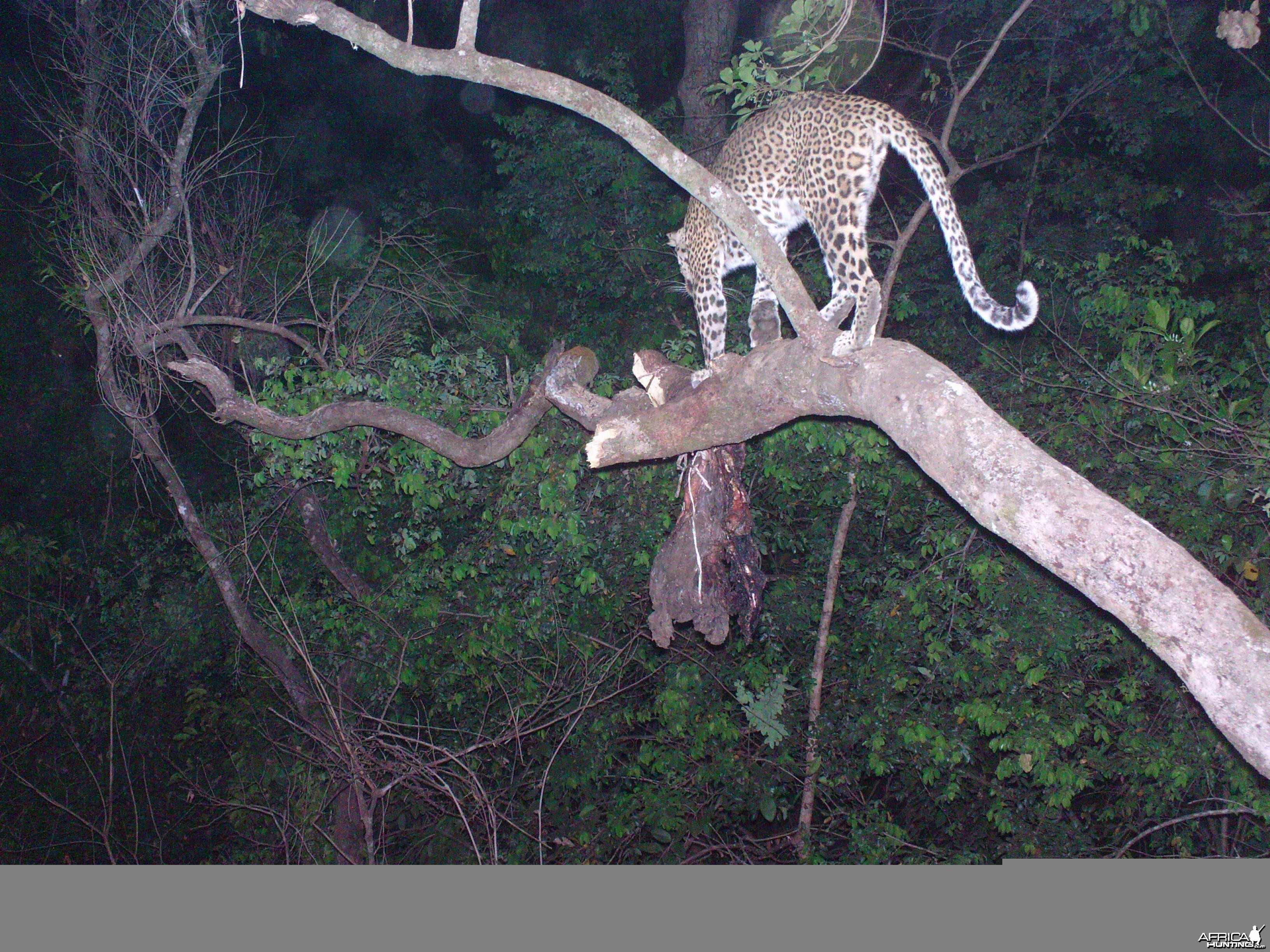 Leopard on Trail Camera