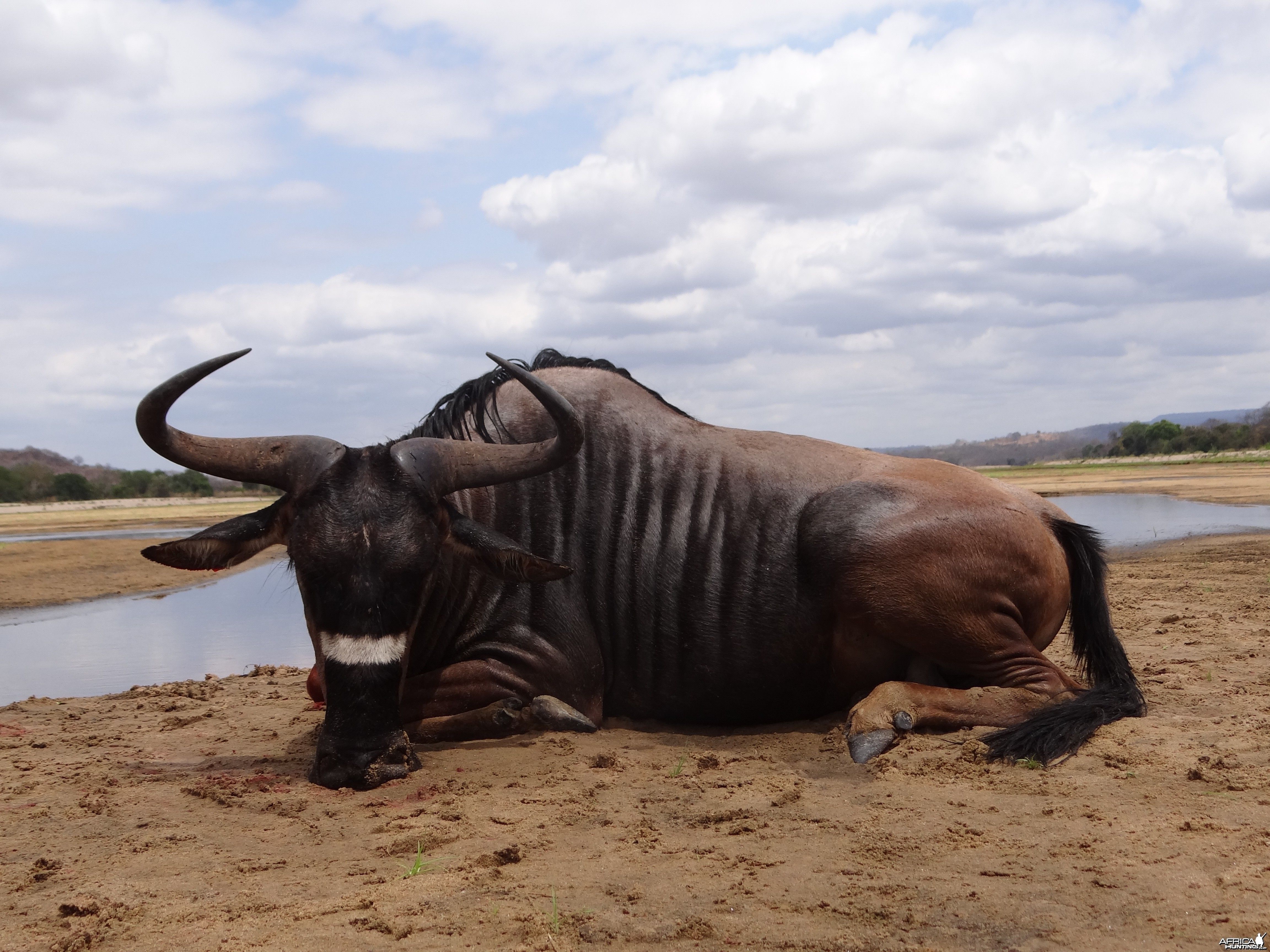 Hunting Nyasaland Wildebeest