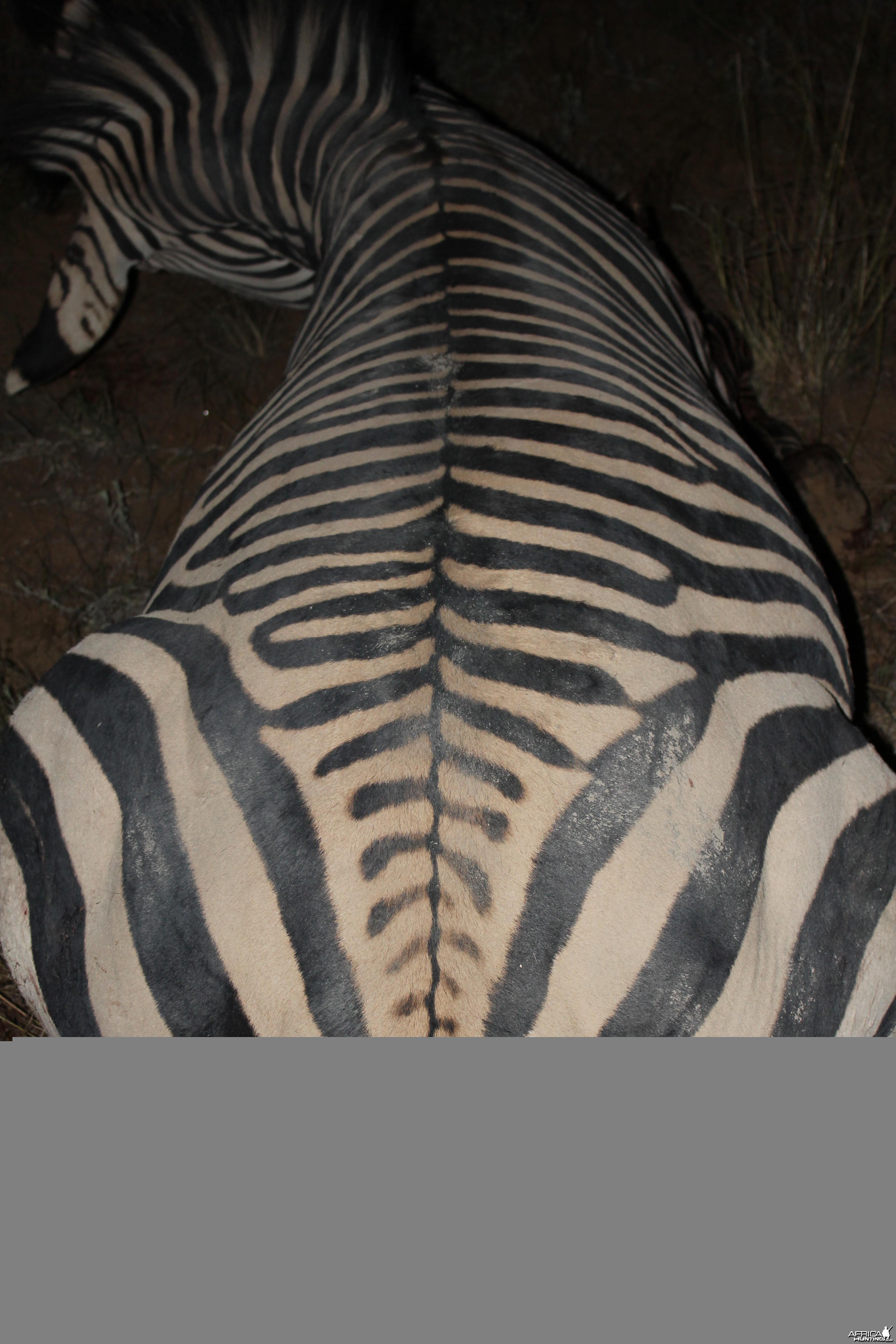 Namibia 2012 Hartman's Zebra