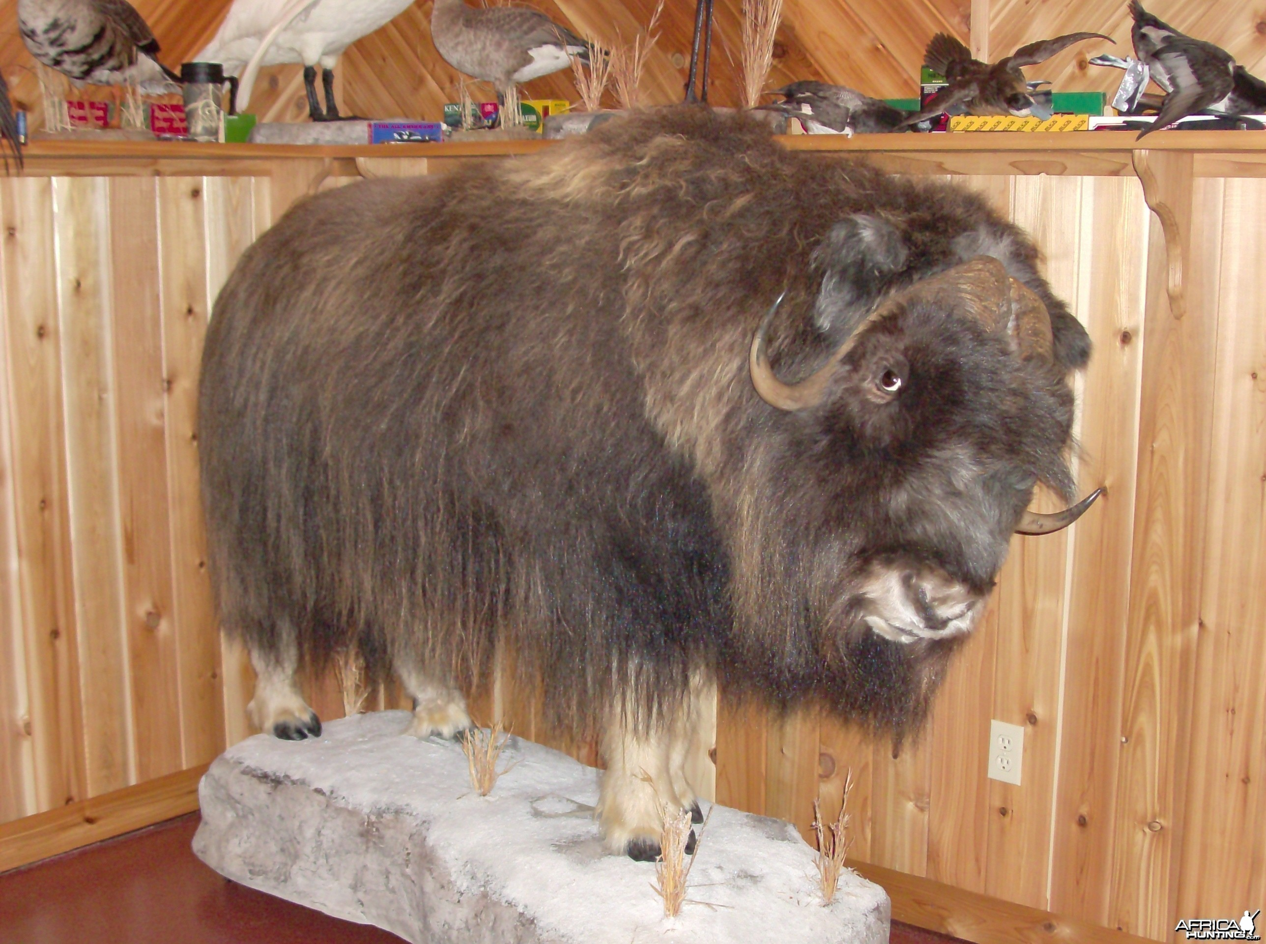 Definitely not African Musk Ox