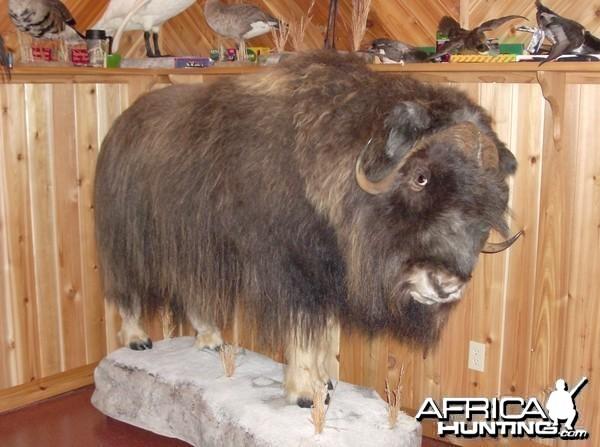 Definitely not African Musk Ox
