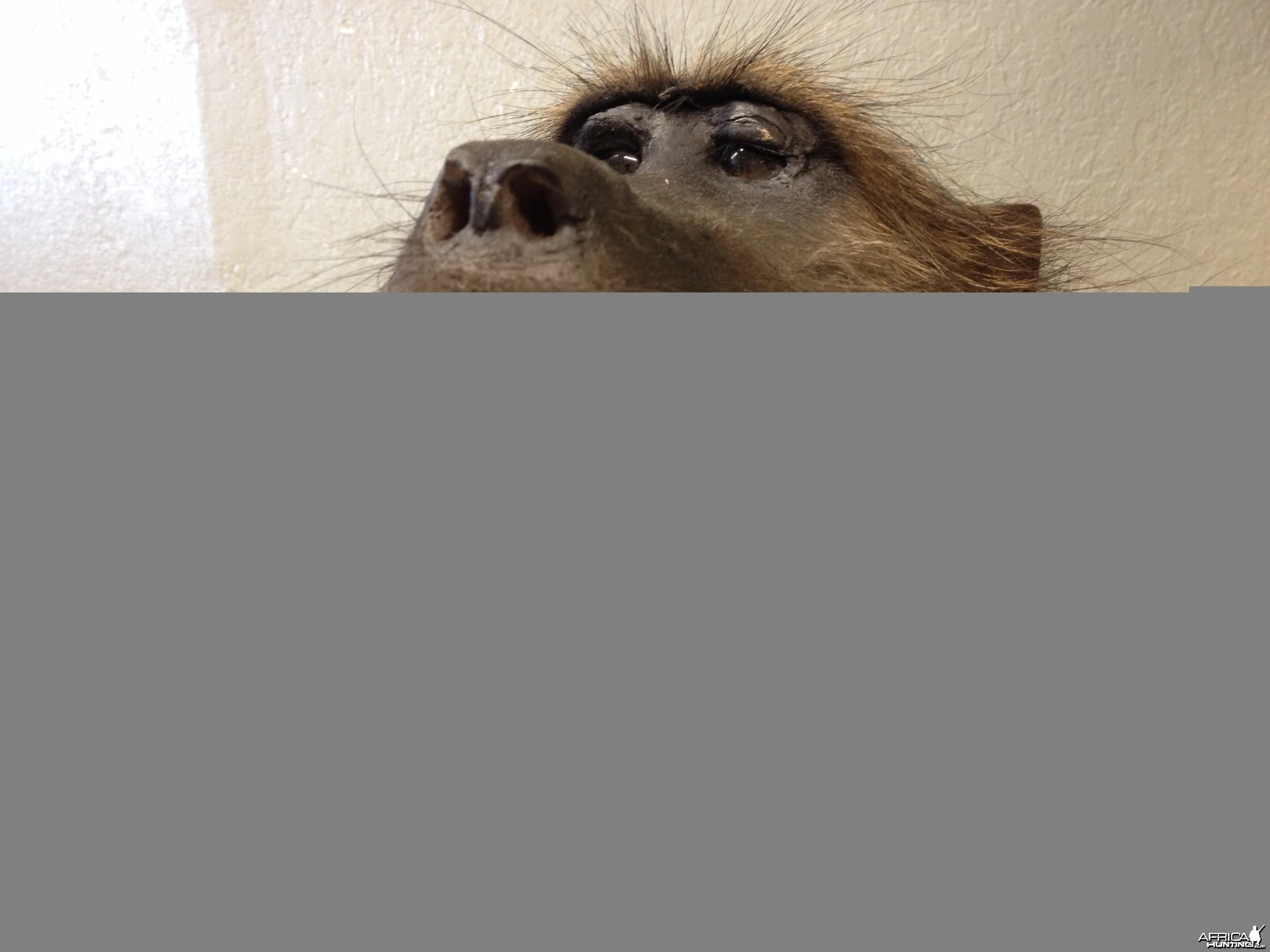 Baboon mount #2