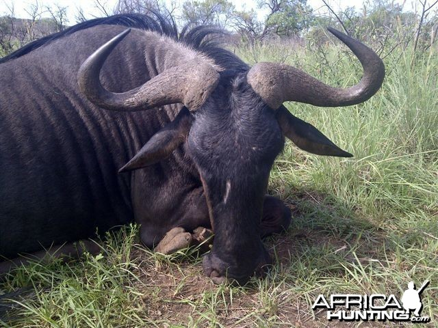 "29"" wildebeest hunted with HGS"